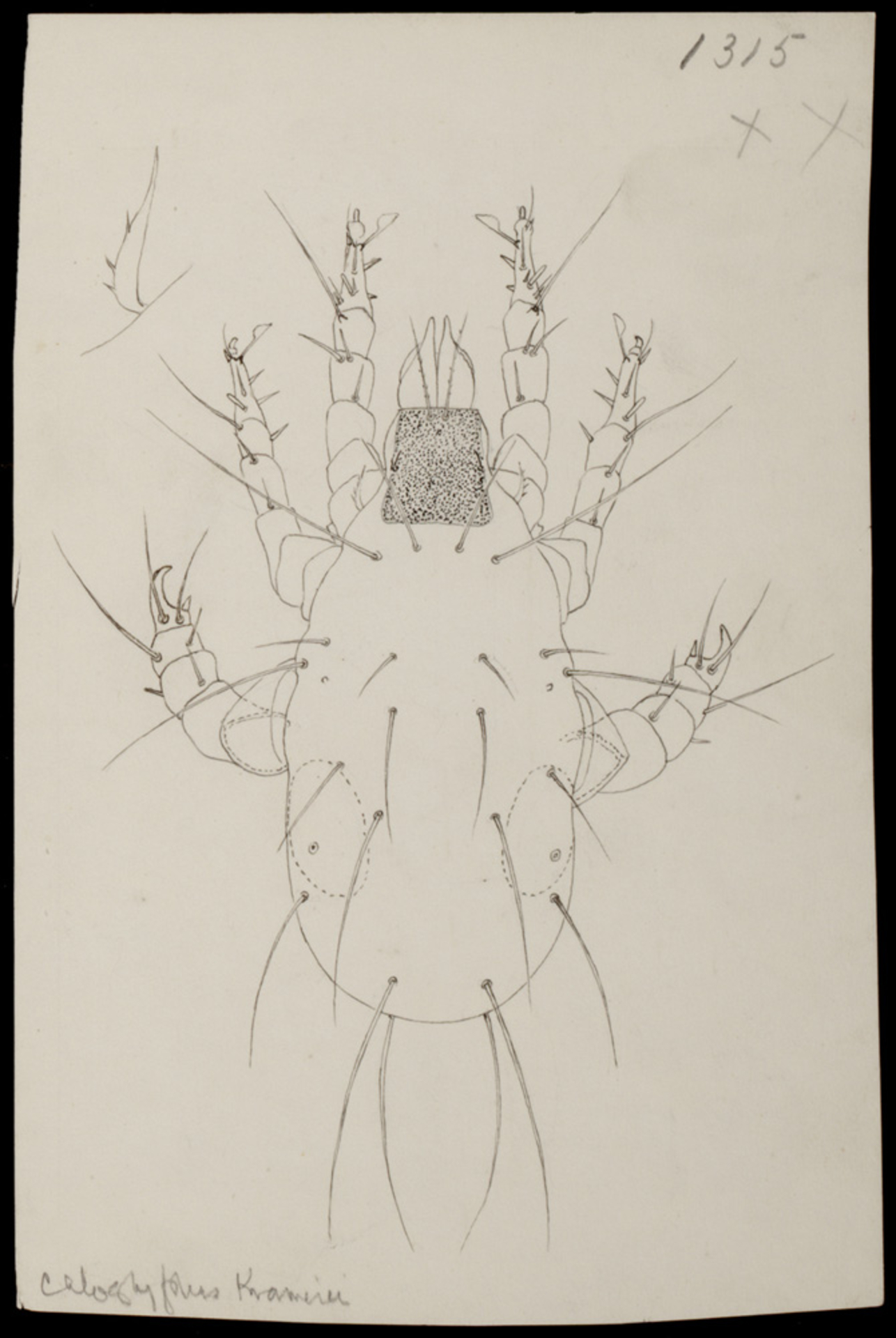 RMNH.ART.1660 | Caloglyphus krameri (Berlese)
