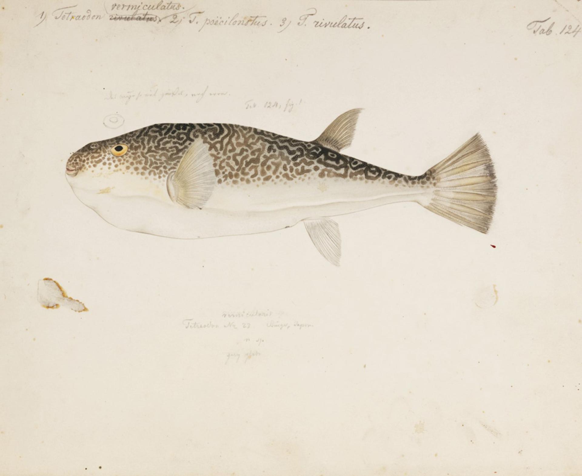 RMNH.ART.169 | Takifugu vermicularis