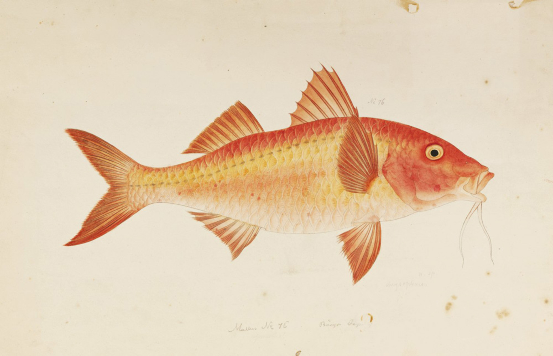 RMNH.ART.173 | Parupeneus chrysopleuron