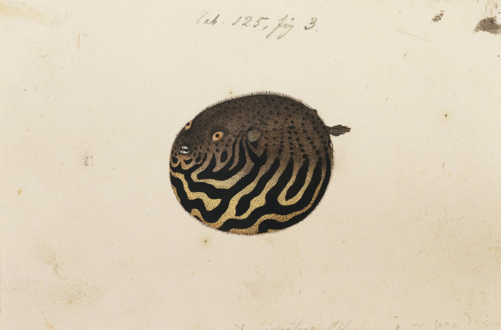 RMNH.ART.174 | Arothron stellatus