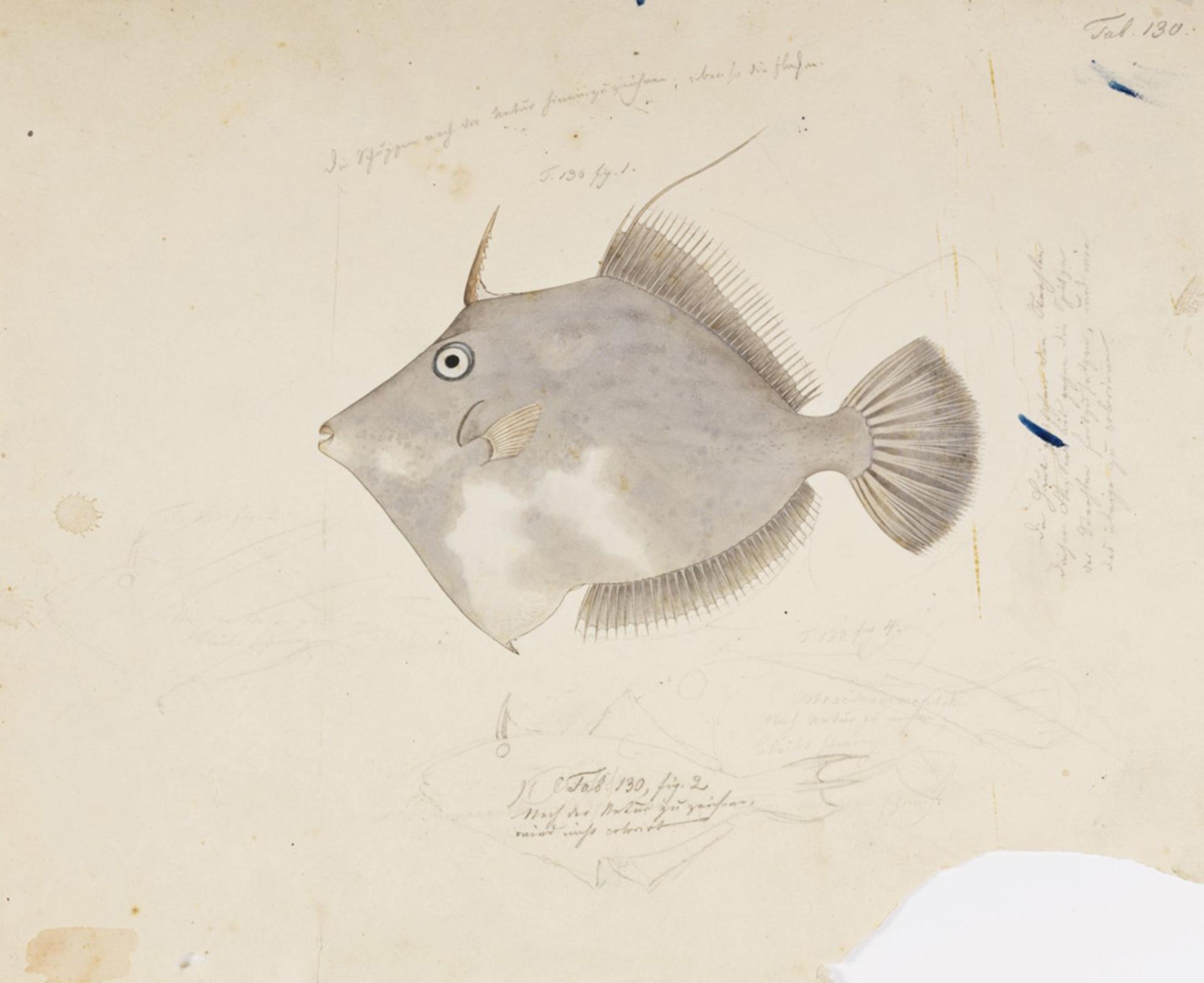 RMNH.ART.181 | Stephanolepis cirrhifer