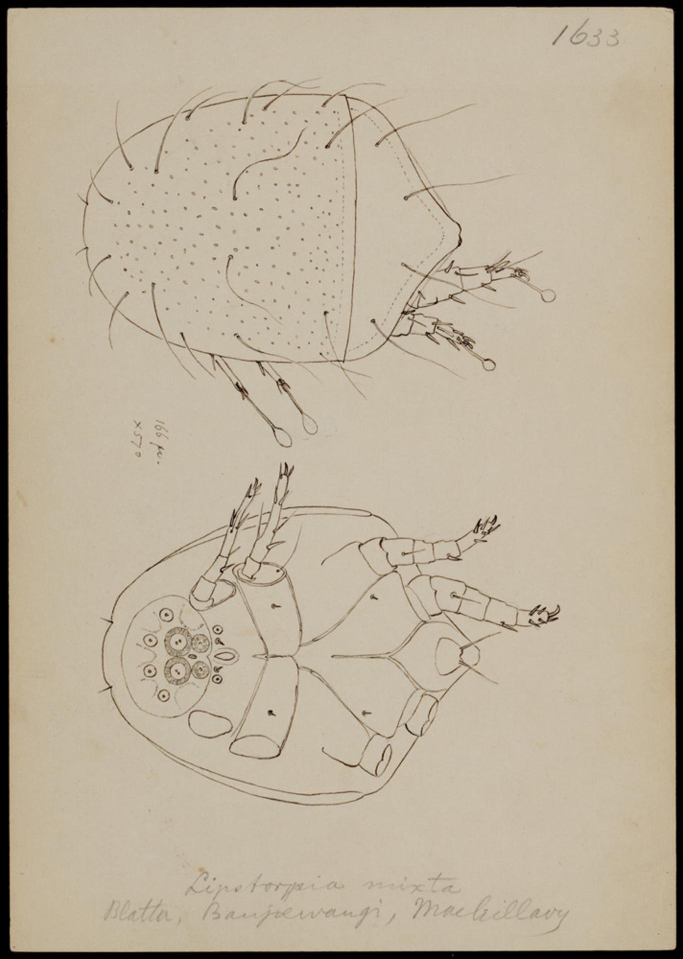 RMNH.ART.1821   Lipstorpia mixta (Oudemans)