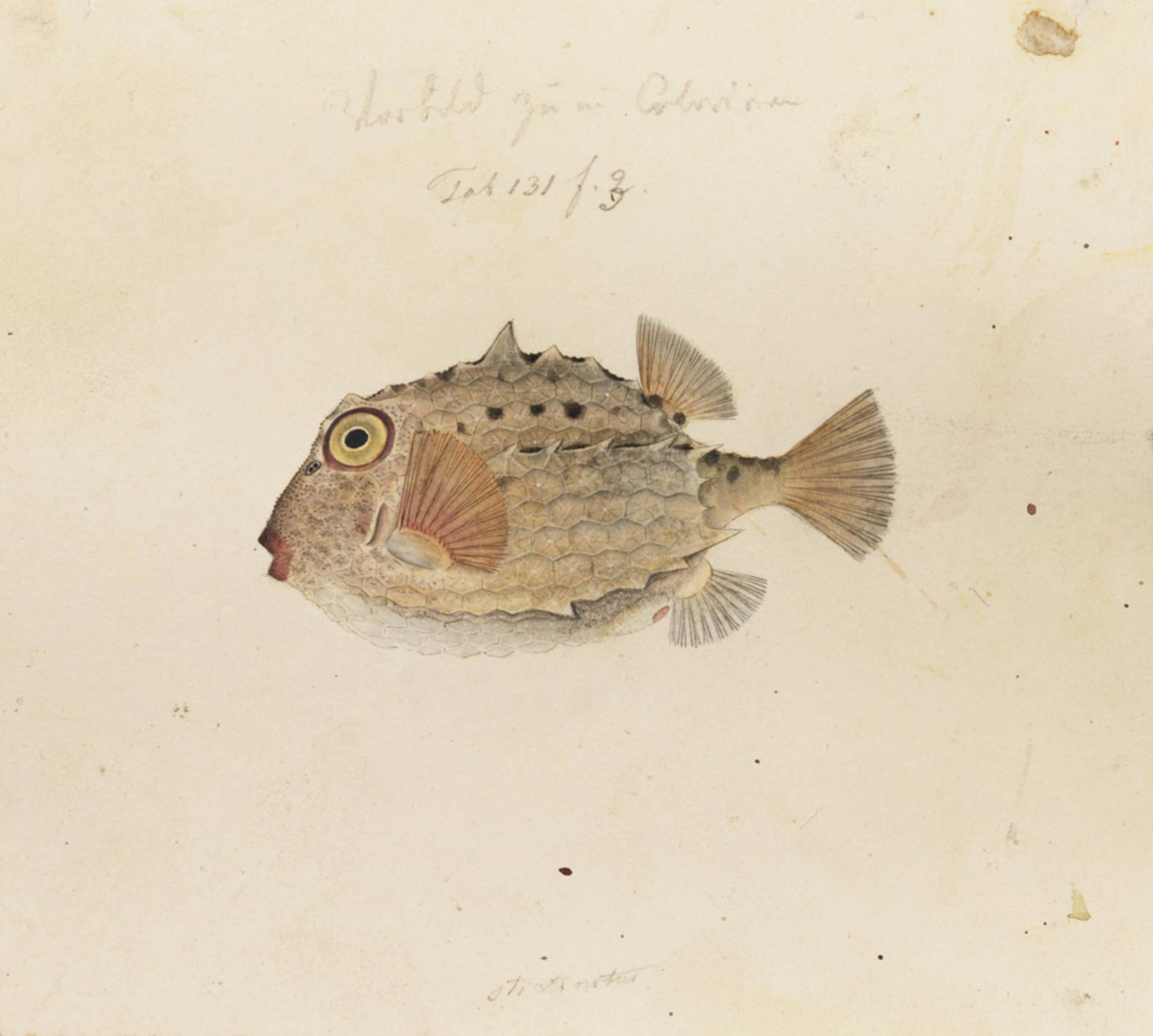 RMNH.ART.183 | Kentrocapros aculeatus