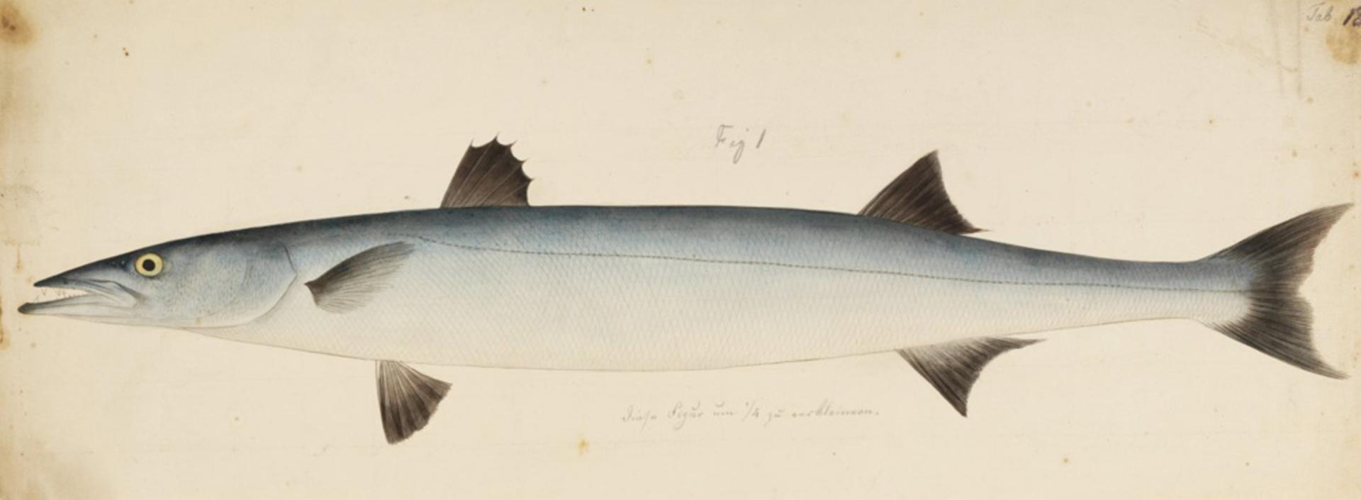 RMNH.ART.184   Sphyraena nigripinnis