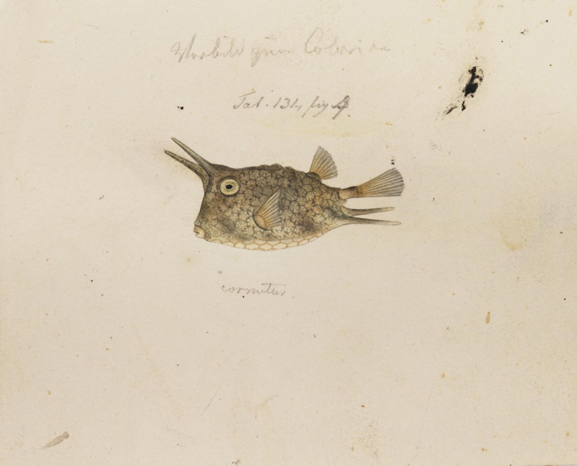 RMNH.ART.185 | Lactoris cornutus