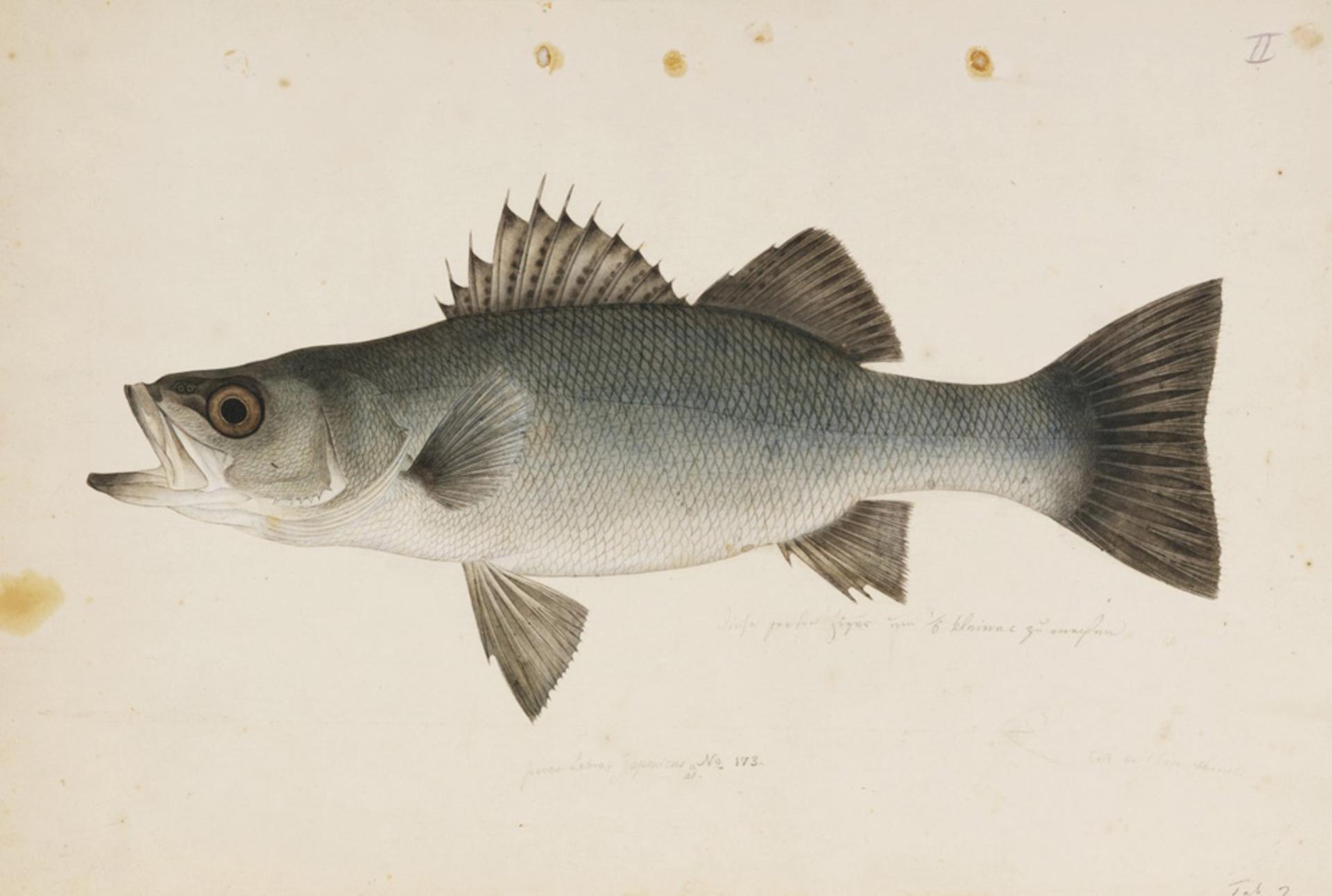 RMNH.ART.186   Lateolabrax japonicus