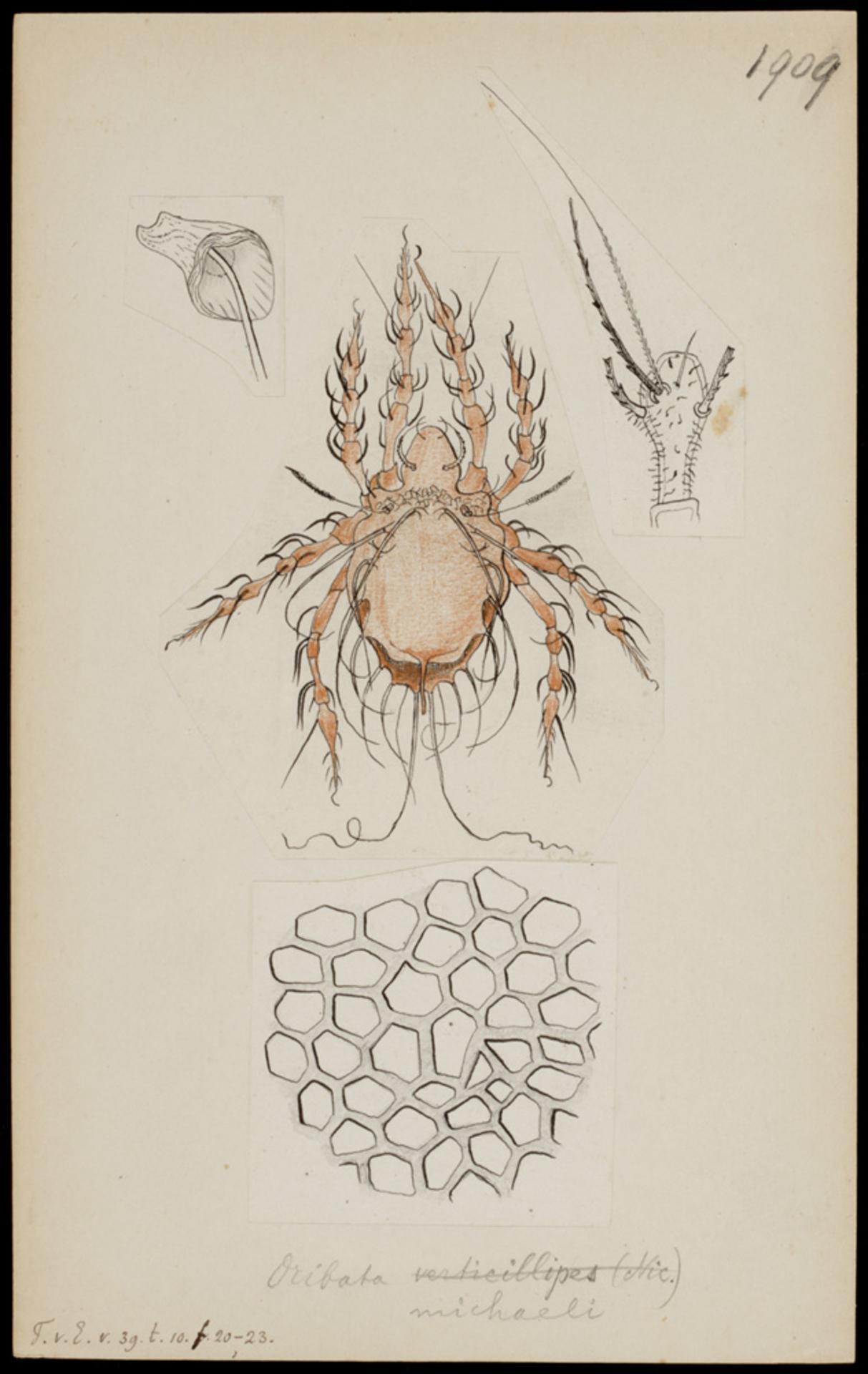RMNH.ART.1867 | Oribates michaeli
