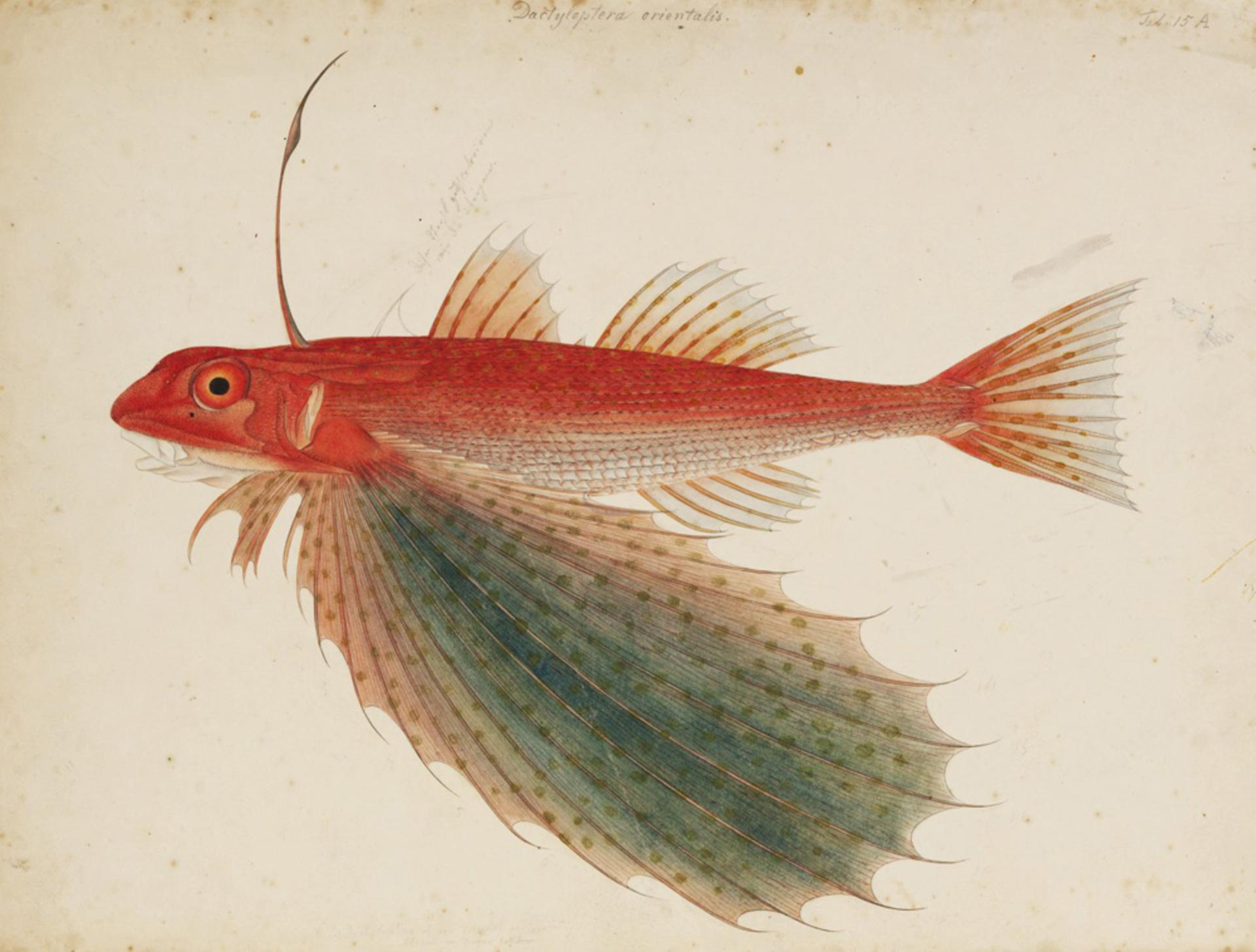 RMNH.ART.188 | Dactyloptera orientalis