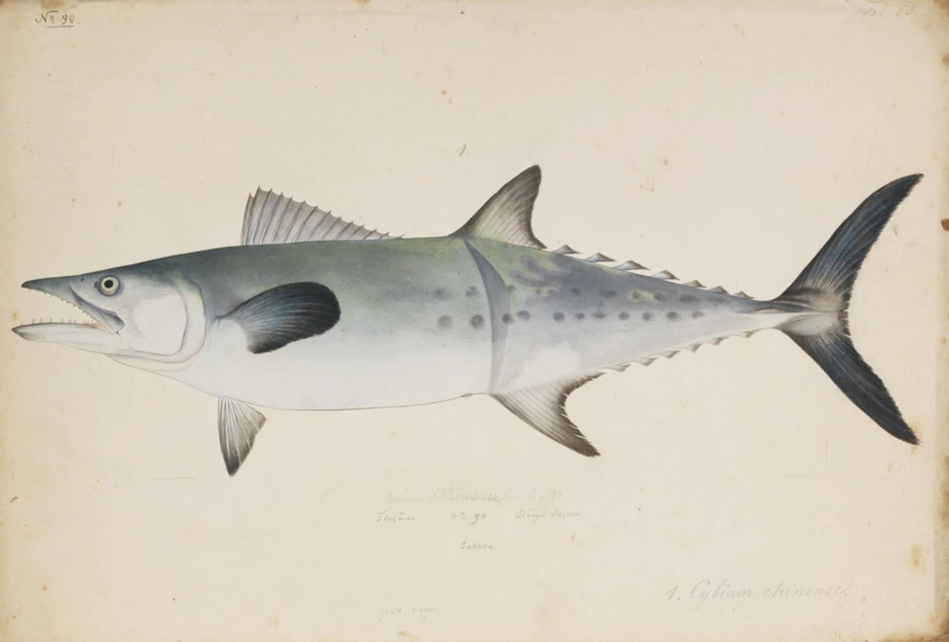 RMNH.ART.191 | Scomberomorus sinensis