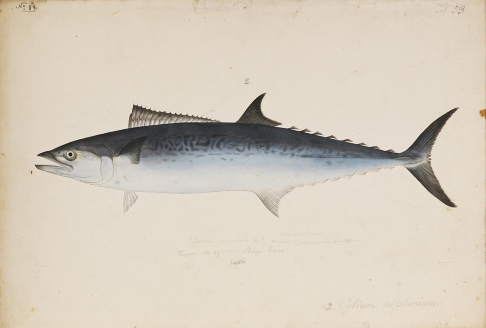 RMNH.ART.192 | Scomberomorus nichonius