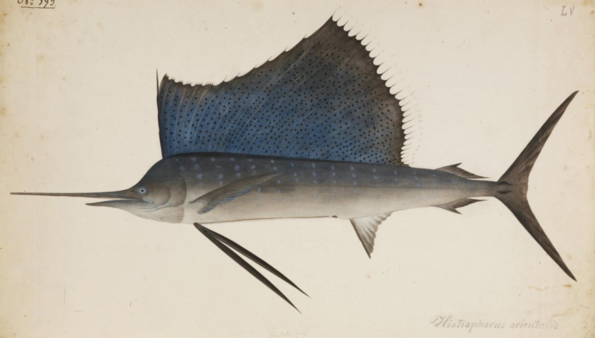RMNH.ART.194 | Istiophorus platypterus