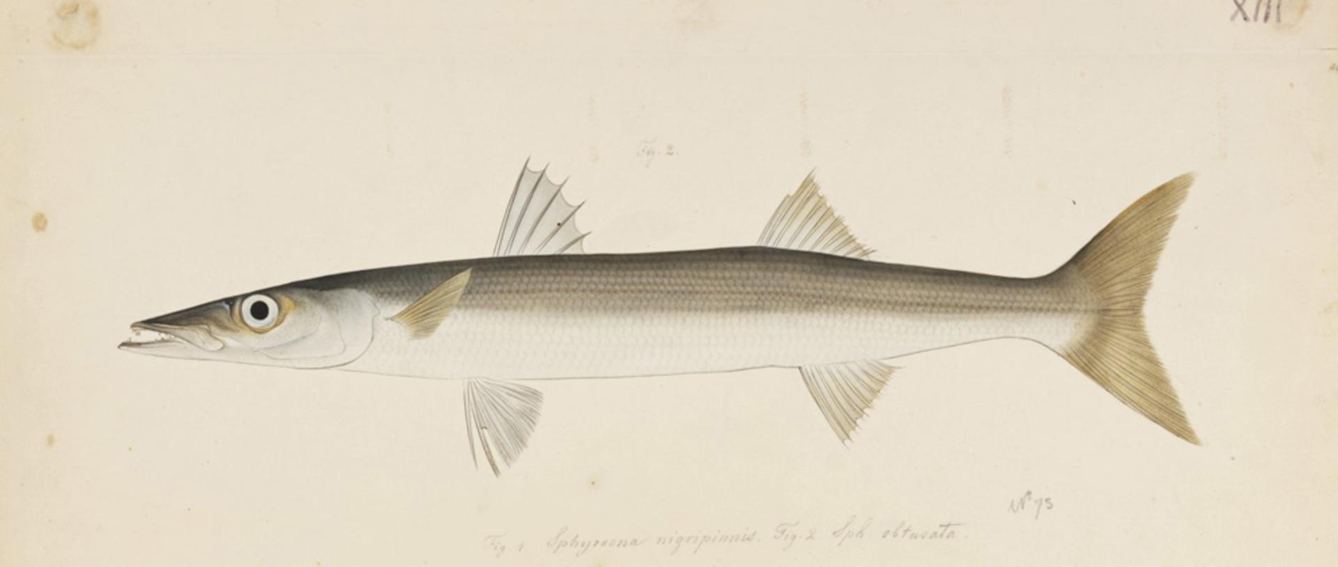 RMNH.ART.195   Sphyraena pinguis