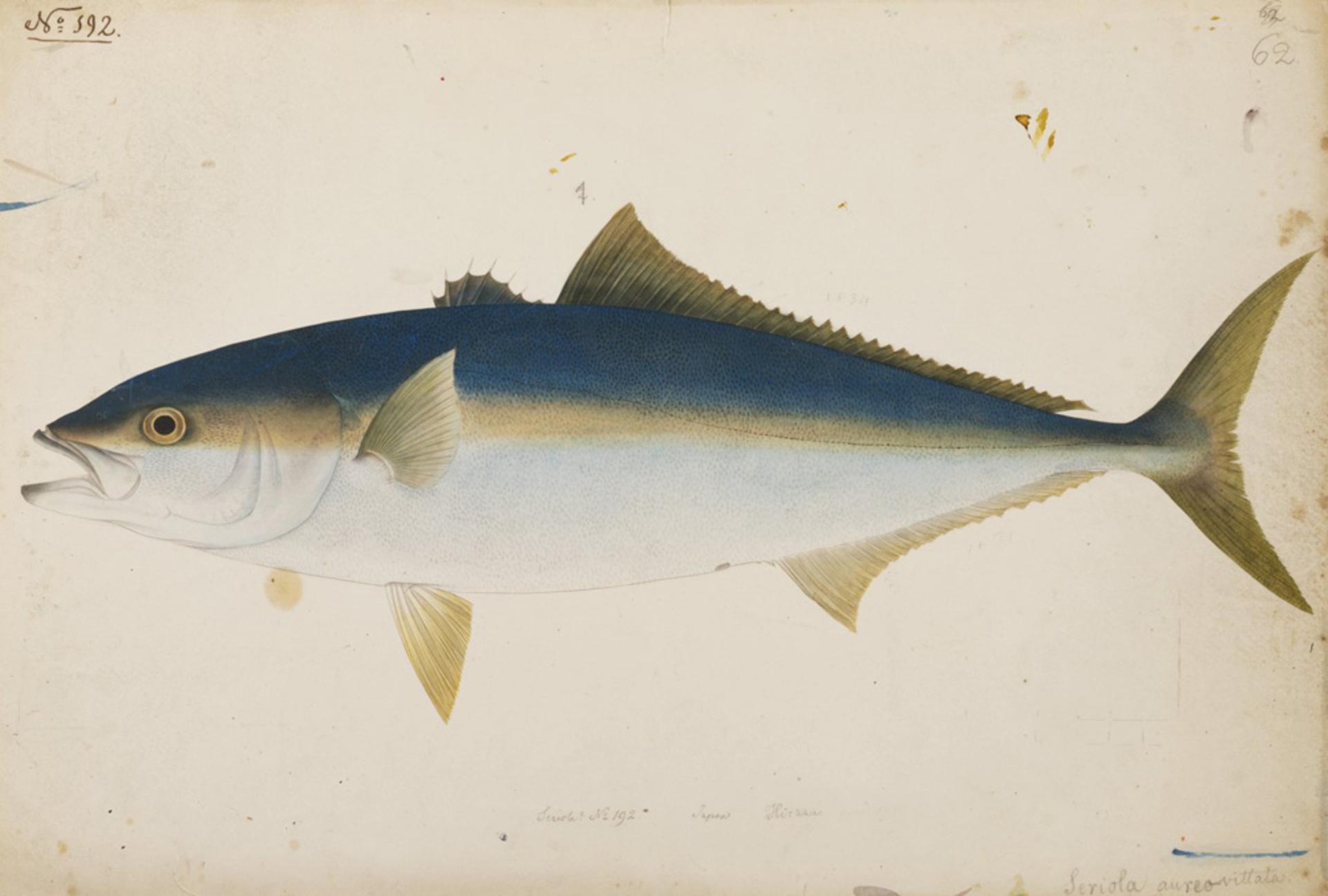 RMNH.ART.196 | Seriola aureowittata