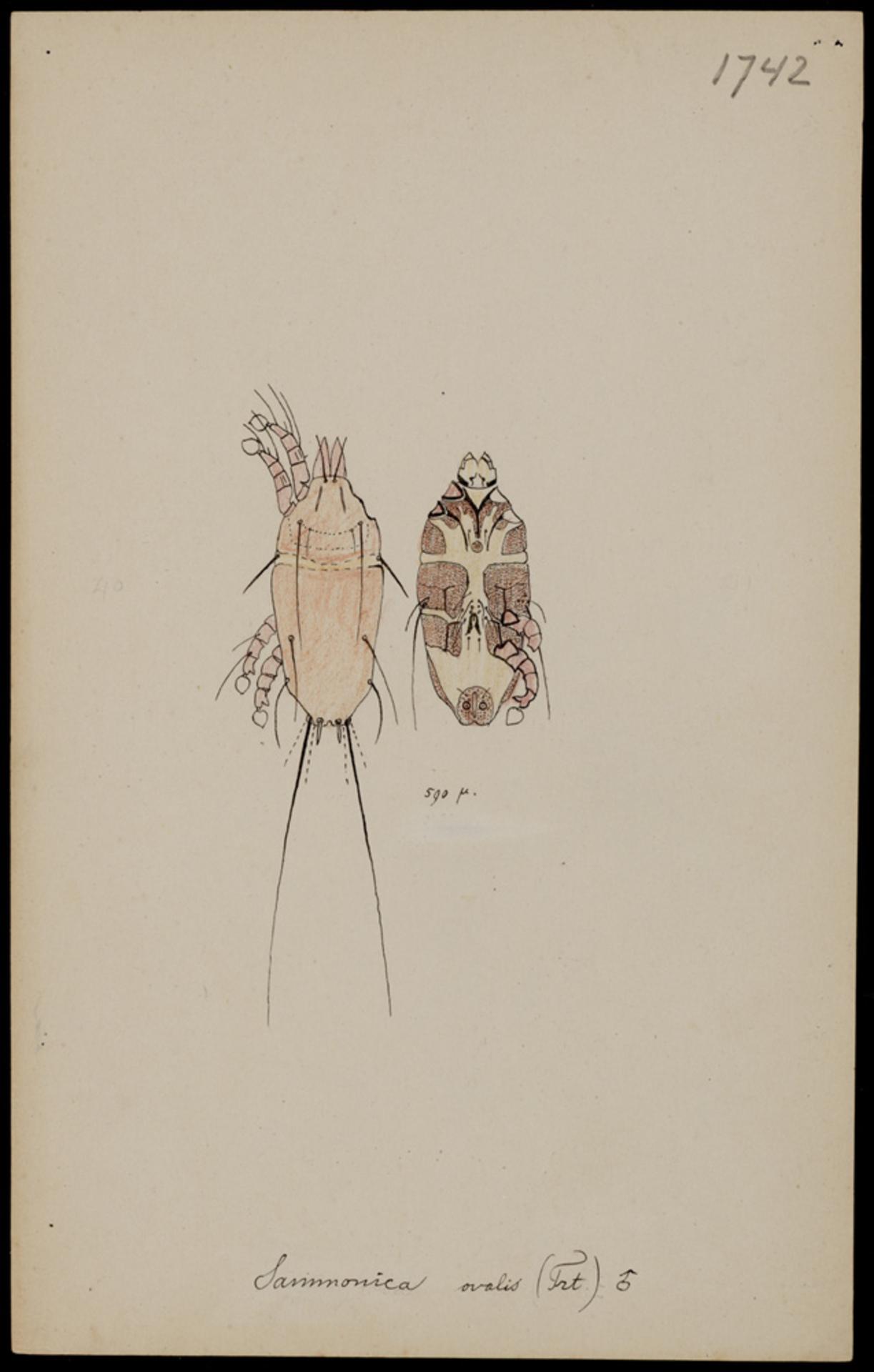 RMNH.ART.1962 | Sammonica ovalis (Trouessart)