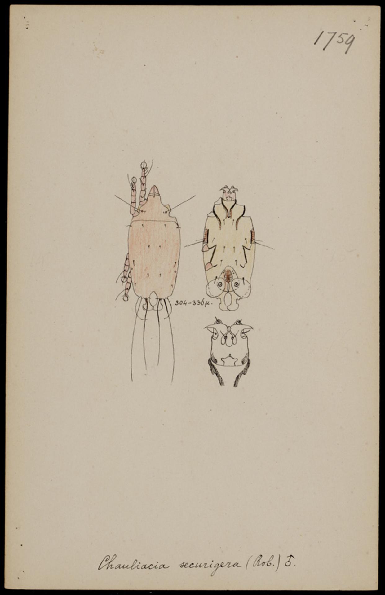 RMNH.ART.1974 | Chauliacia securigera (Rob.)