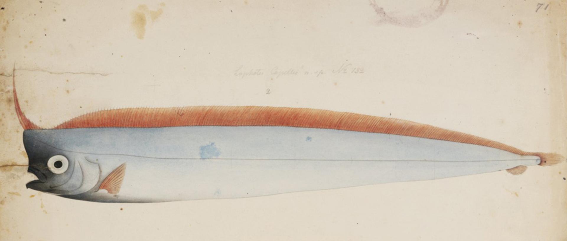 RMNH.ART.198 | Lophotes capellei