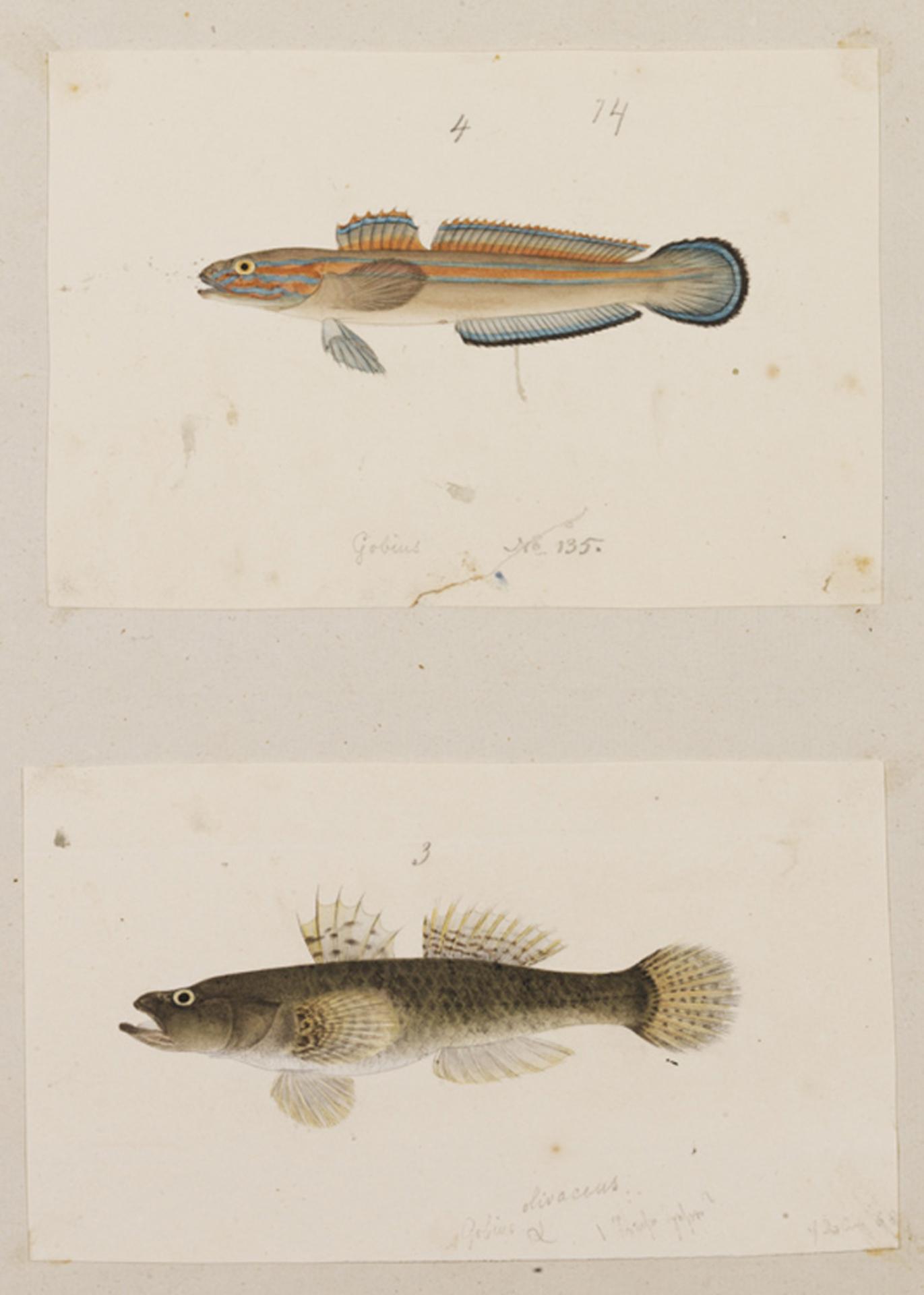 RMNH.ART.201 | Glossogobius olivaceus