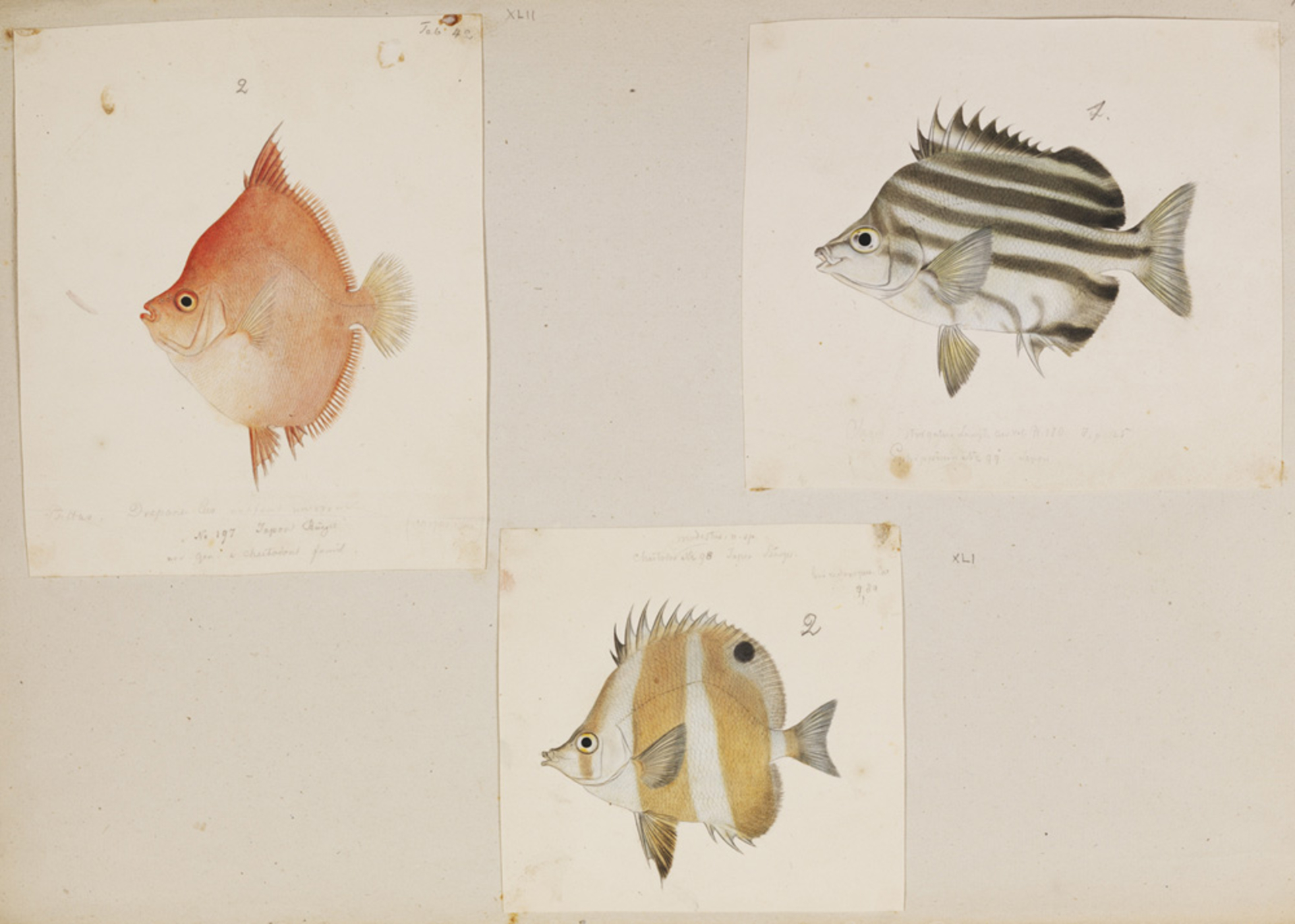 RMNH.ART.207 | Chaetodon modestus