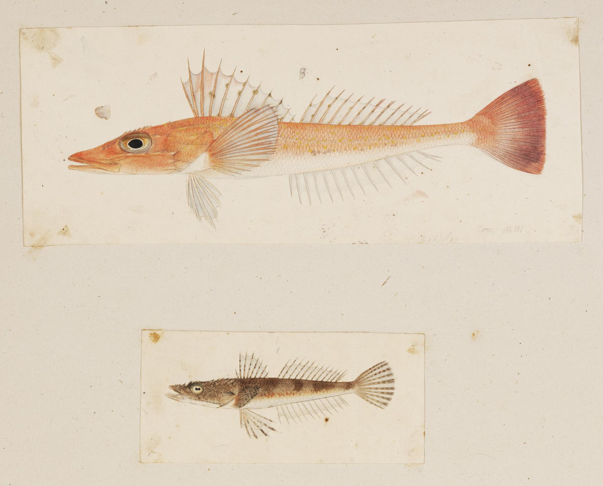 RMNH.ART.209 | Onigocia spinosa