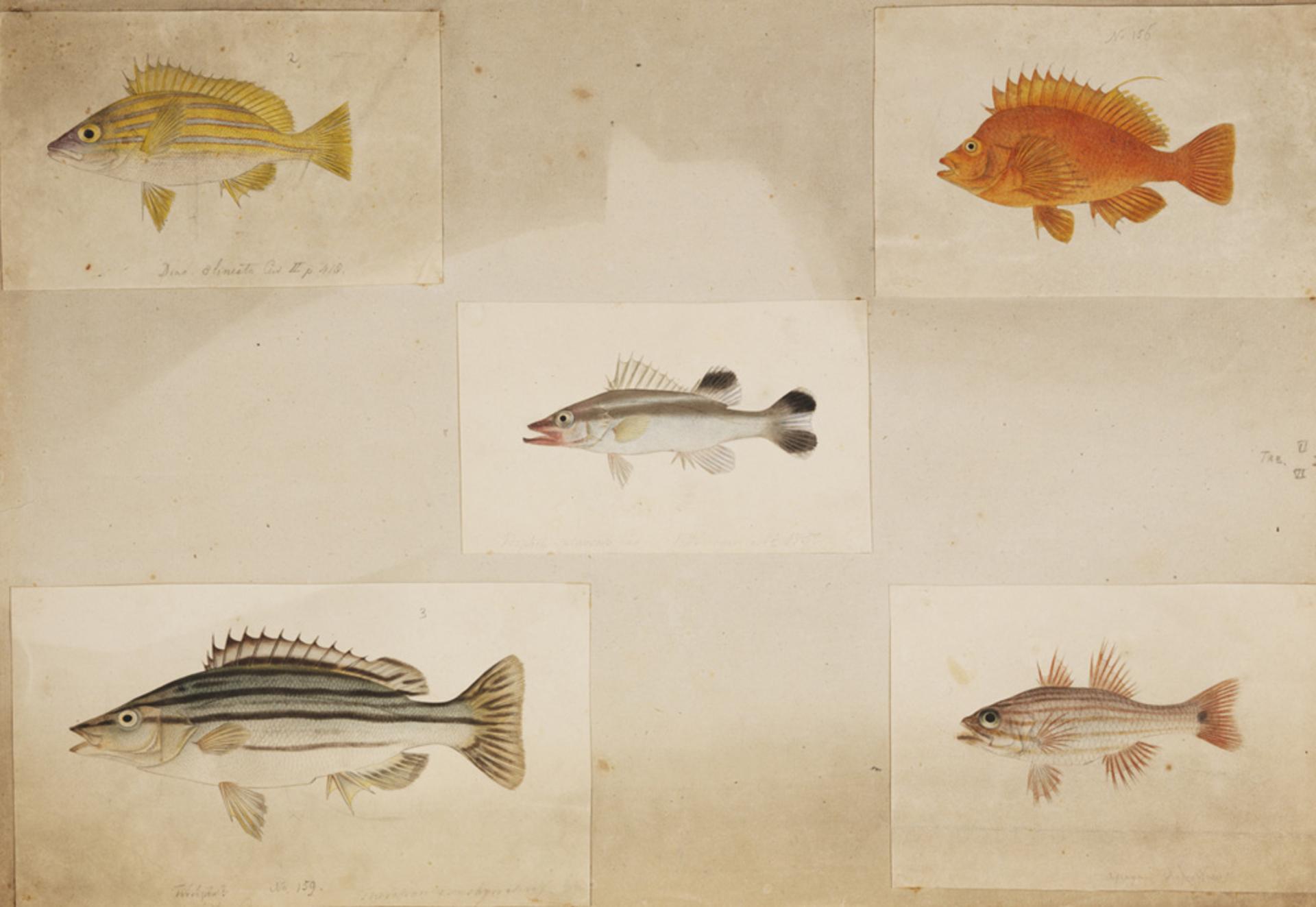 RMNH.ART.211 | Rhynchopelates oxyrhynchus