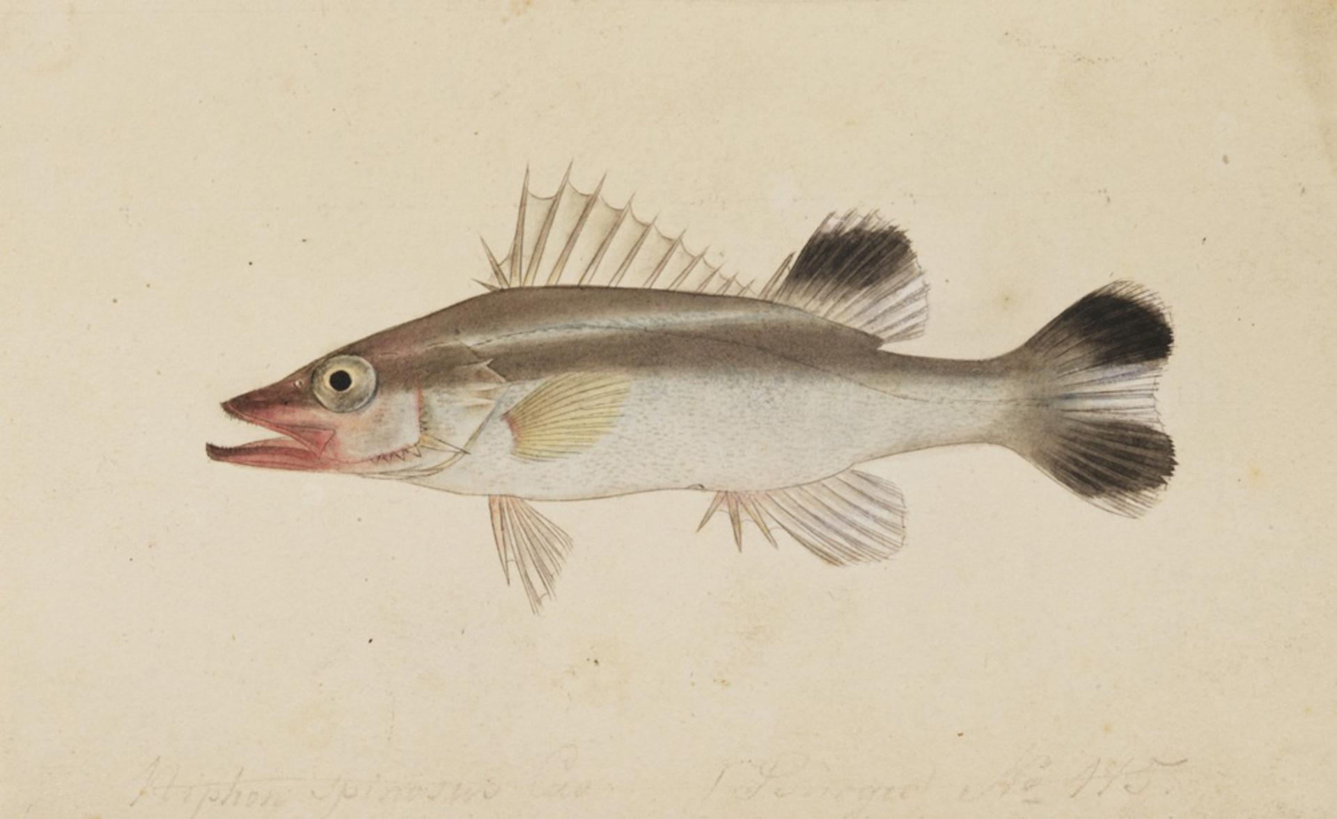 RMNH.ART.214 | Niphon spinosus