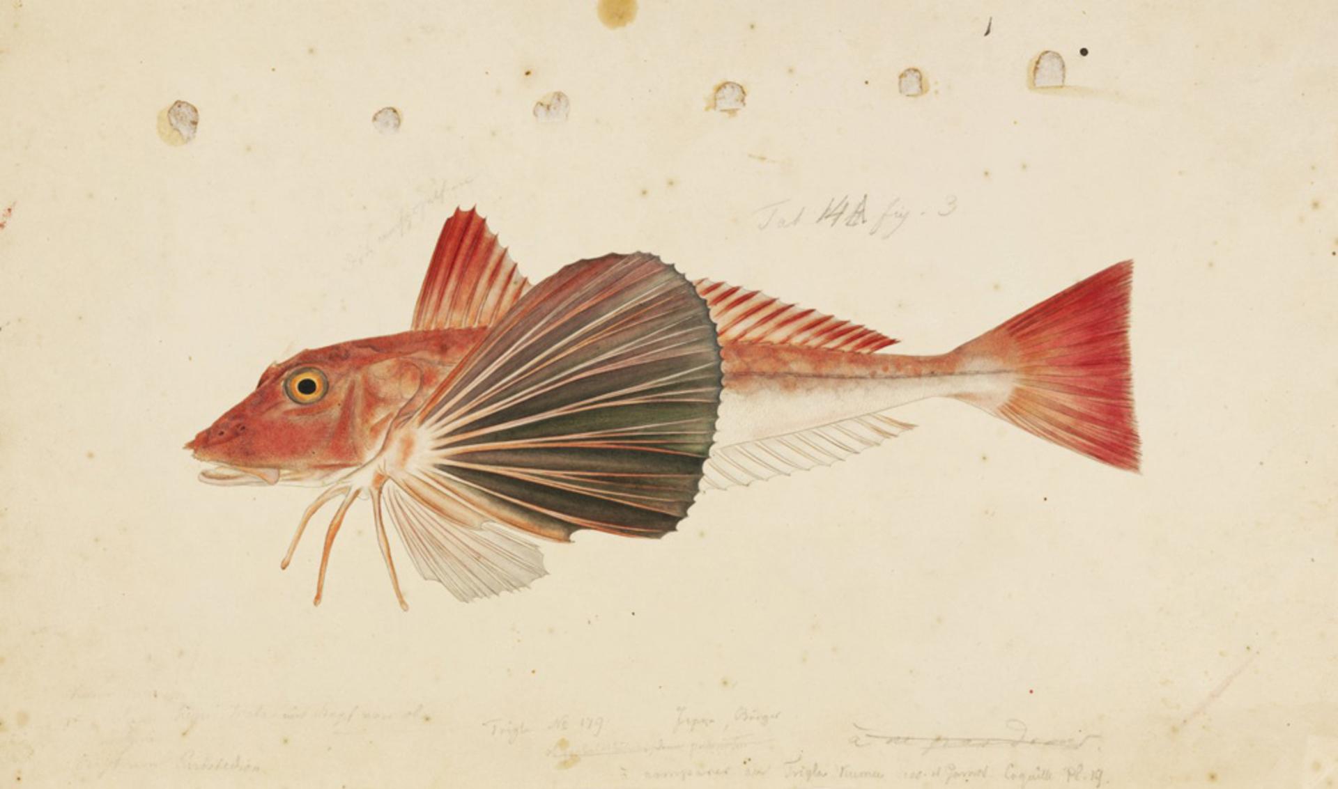 RMNH.ART.216 | Chlidonichtys spinosus