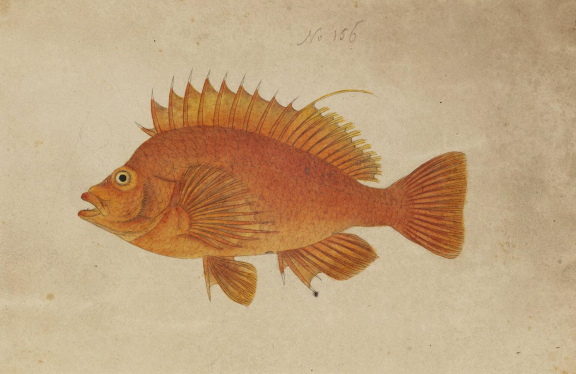 RMNH.ART.217 | Cirrhitichthys aureus