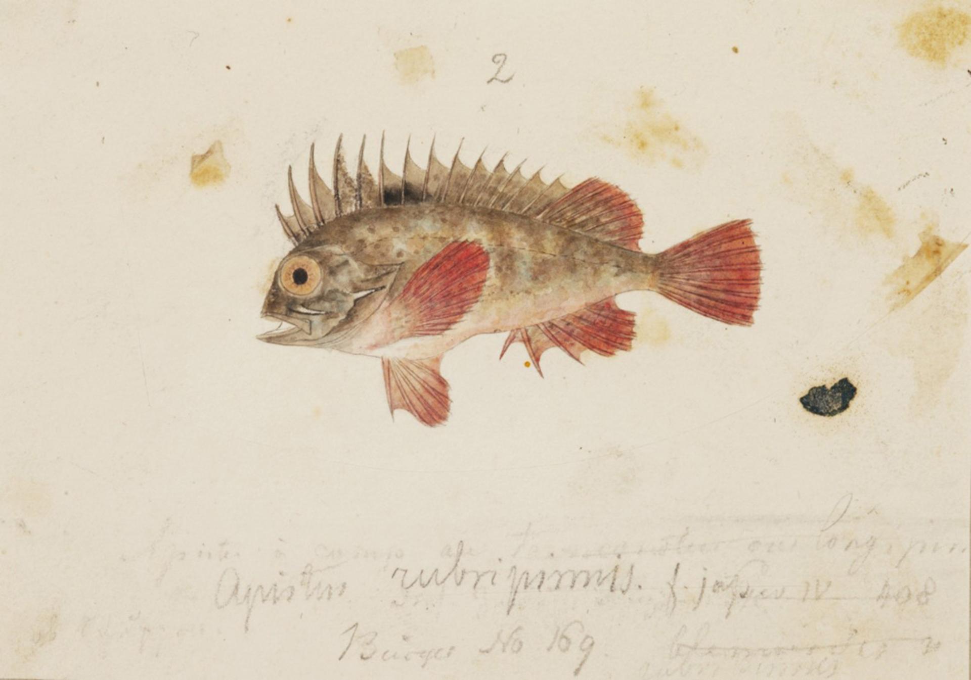RMNH.ART.222   Hypodytes rubripinnis