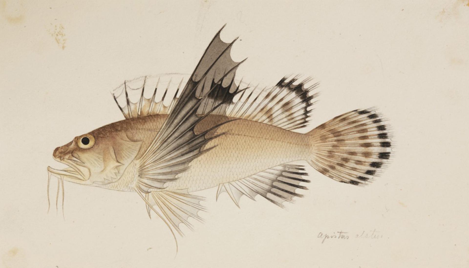RMNH.ART.223 | Apistus carinatus