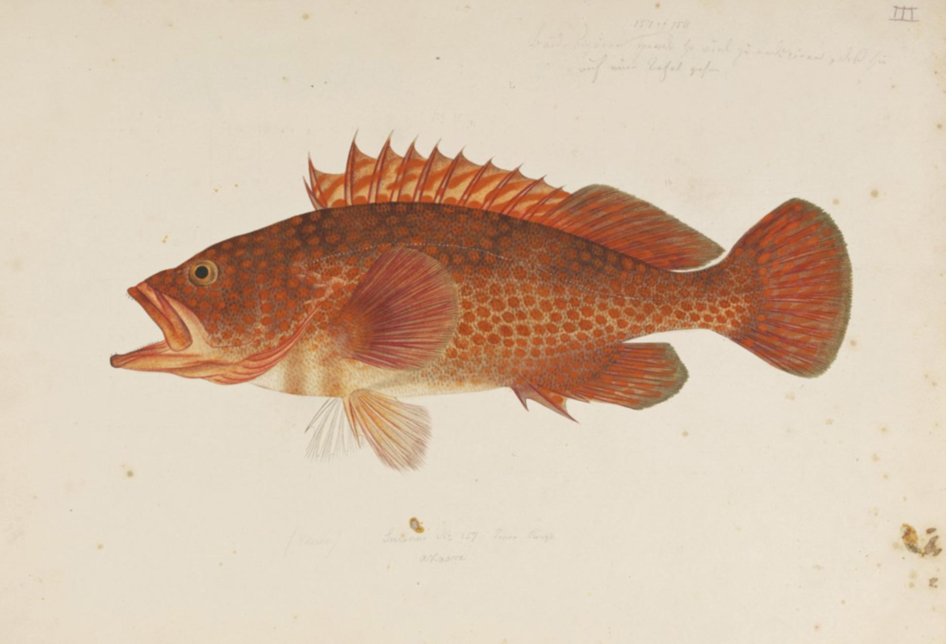 RMNH.ART.227 | Lateolabrax japonicus