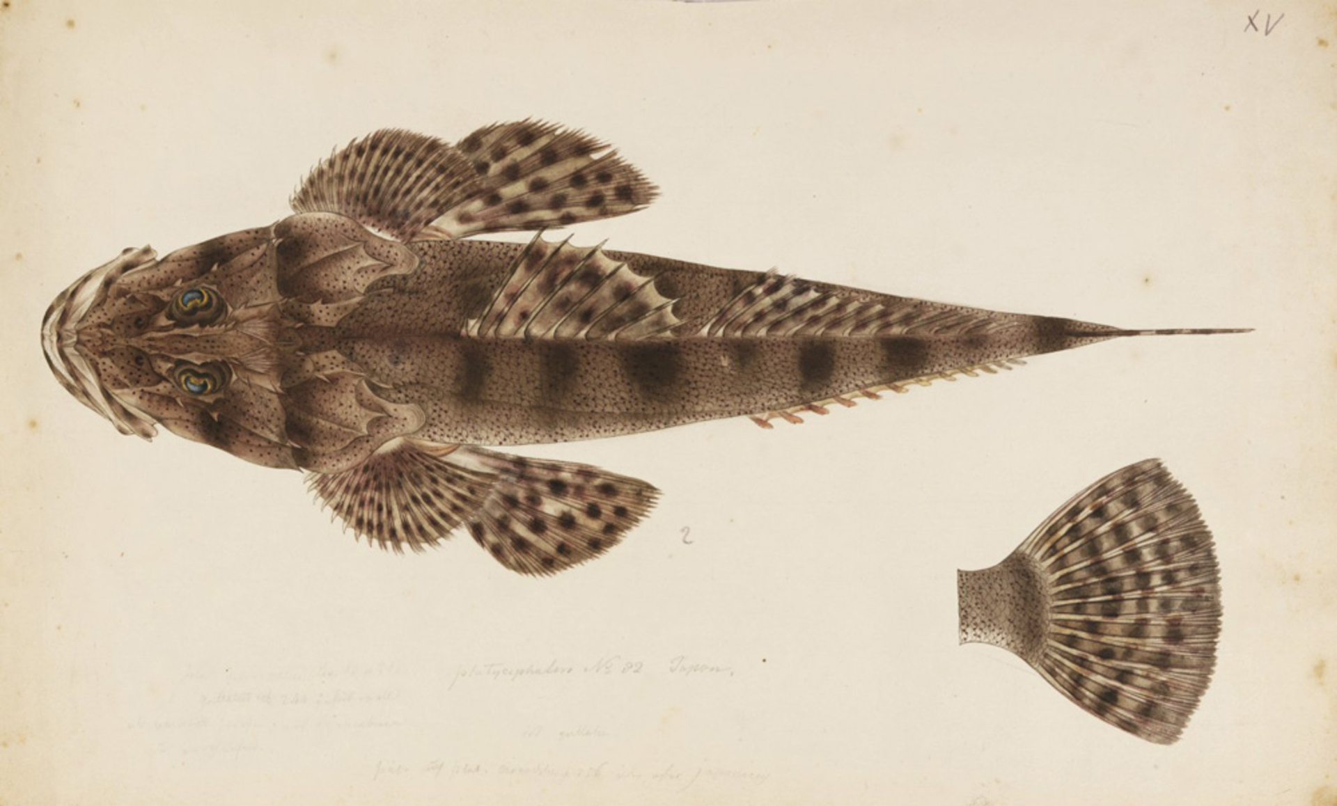 RMNH.ART.239   Inegocia guttata