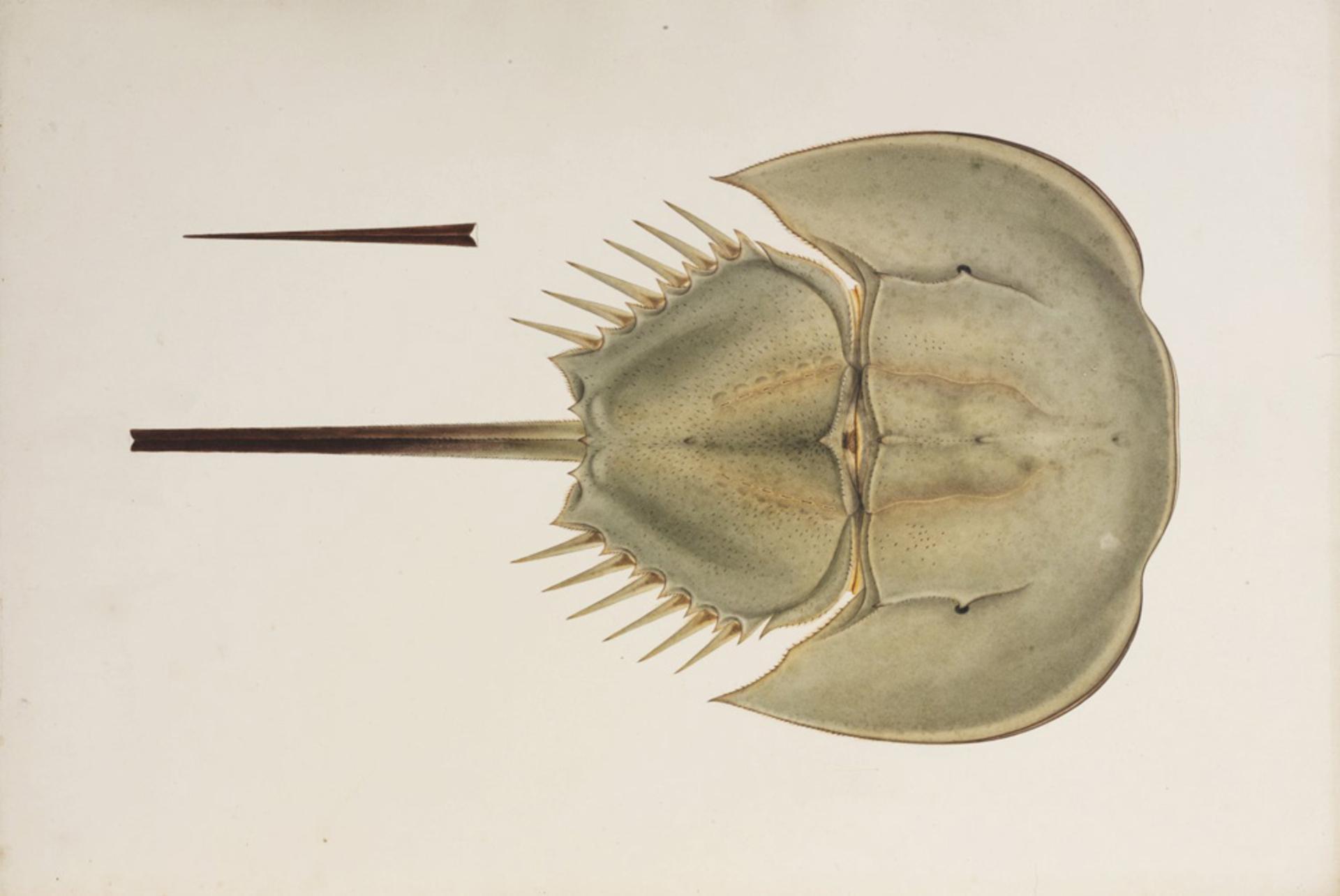 RMNH.ART.24   Tachypleus tridentatus