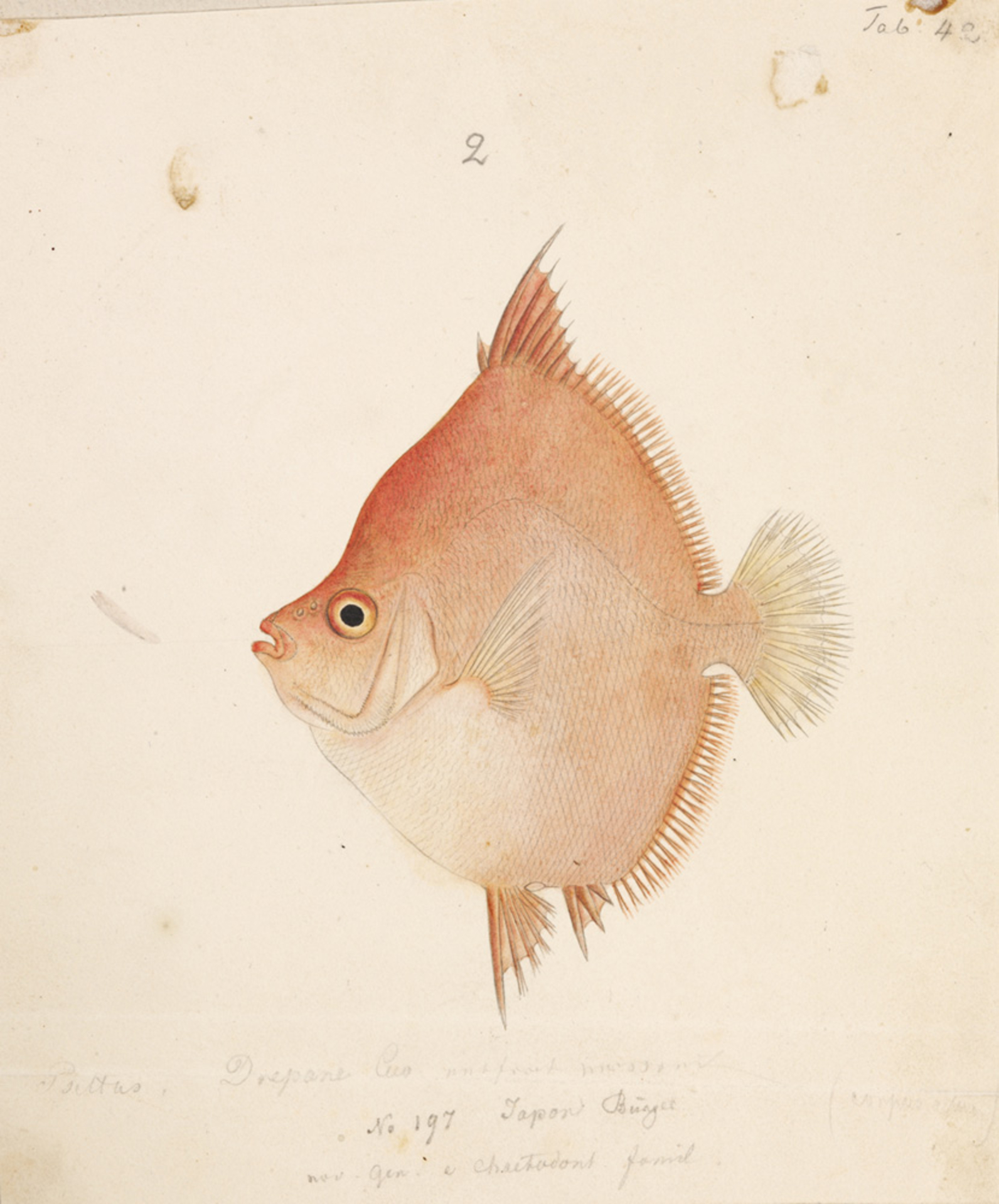 RMNH.ART.242 | Antigonia rubescens