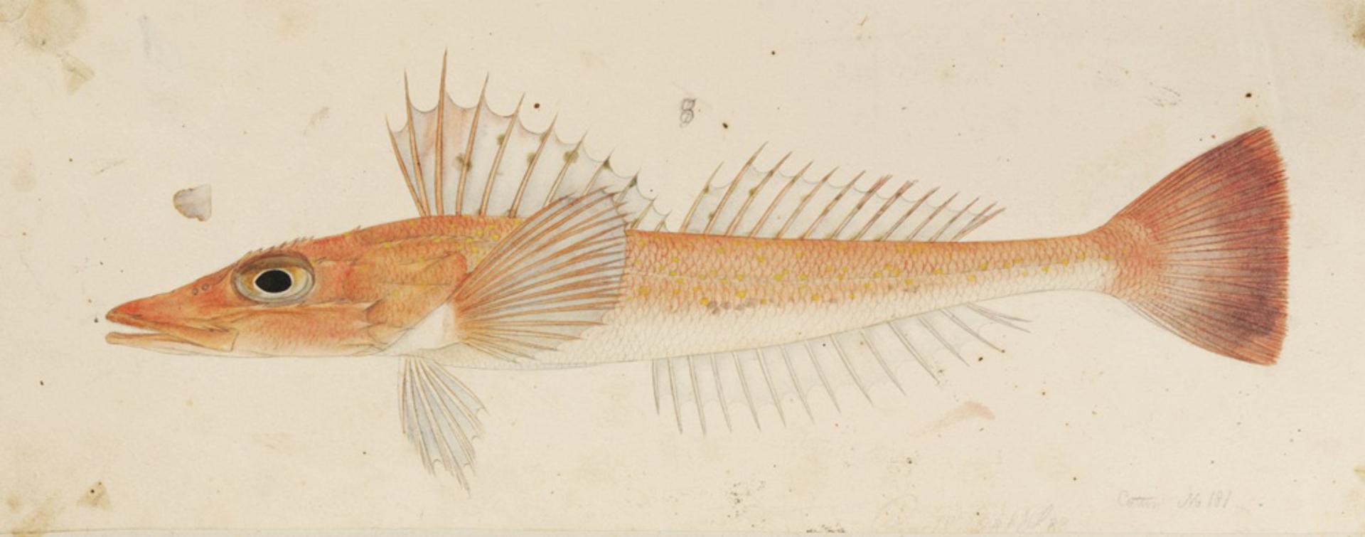 RMNH.ART.244   Bembras japonicus