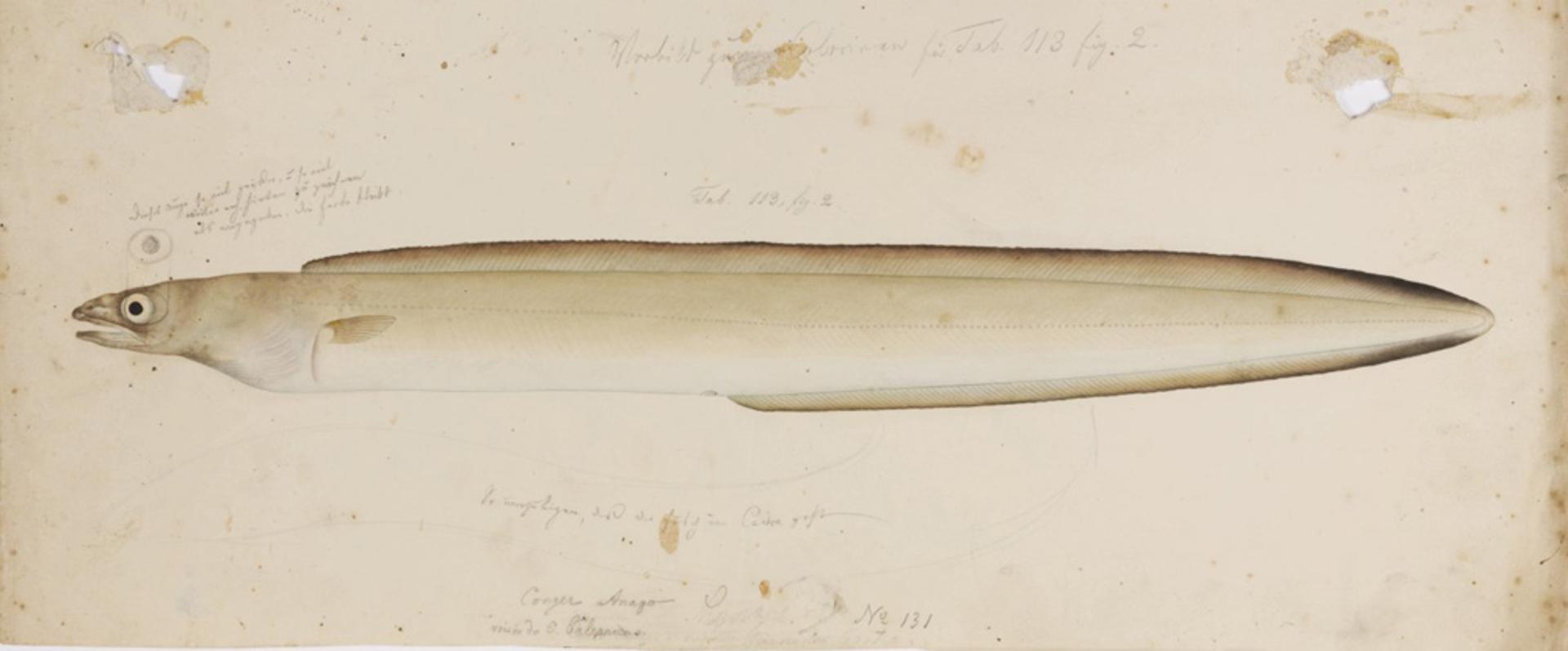 RMNH.ART.259 | Anago anago