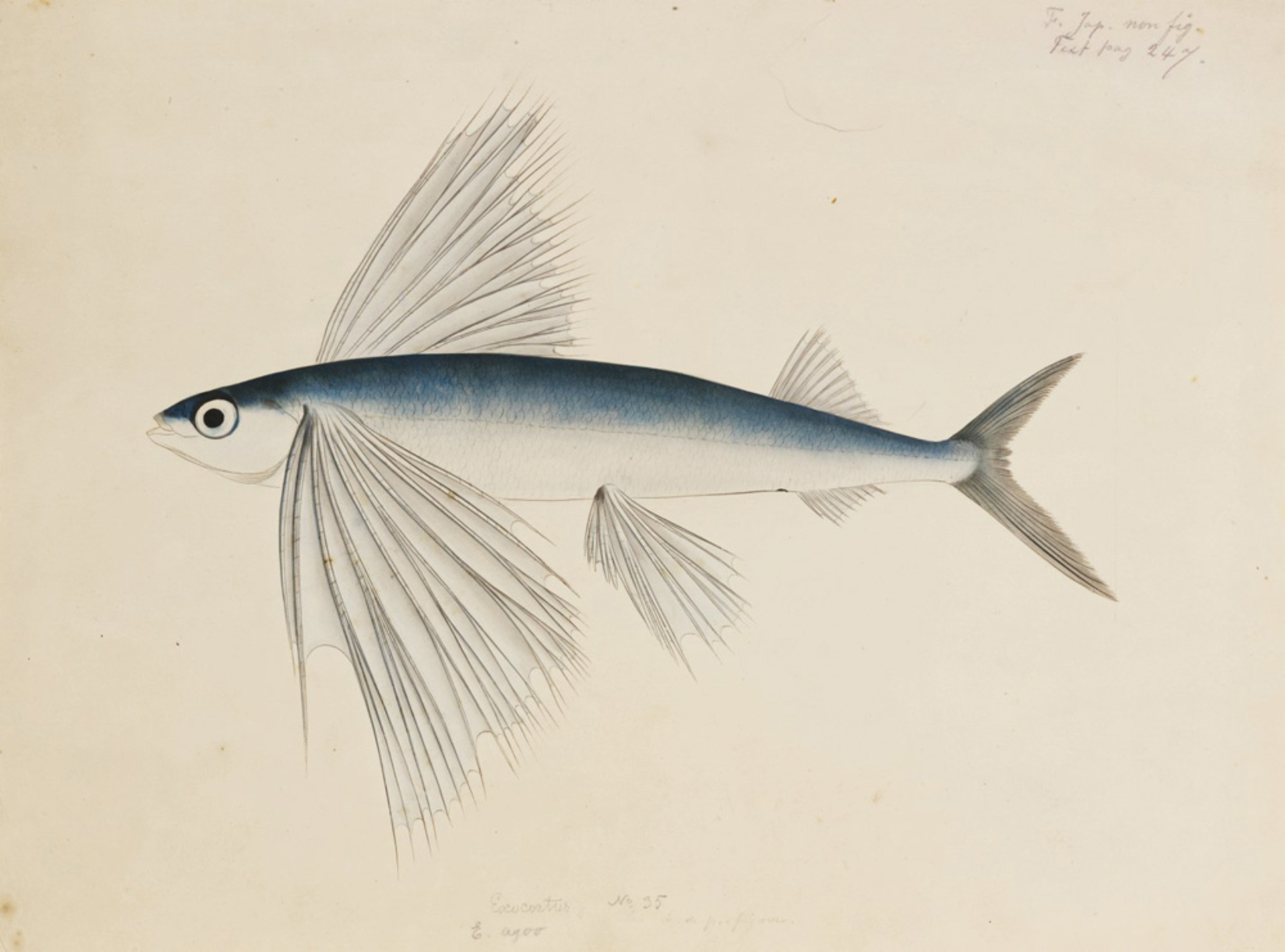 RMNH.ART.260 | Cypselurus sp