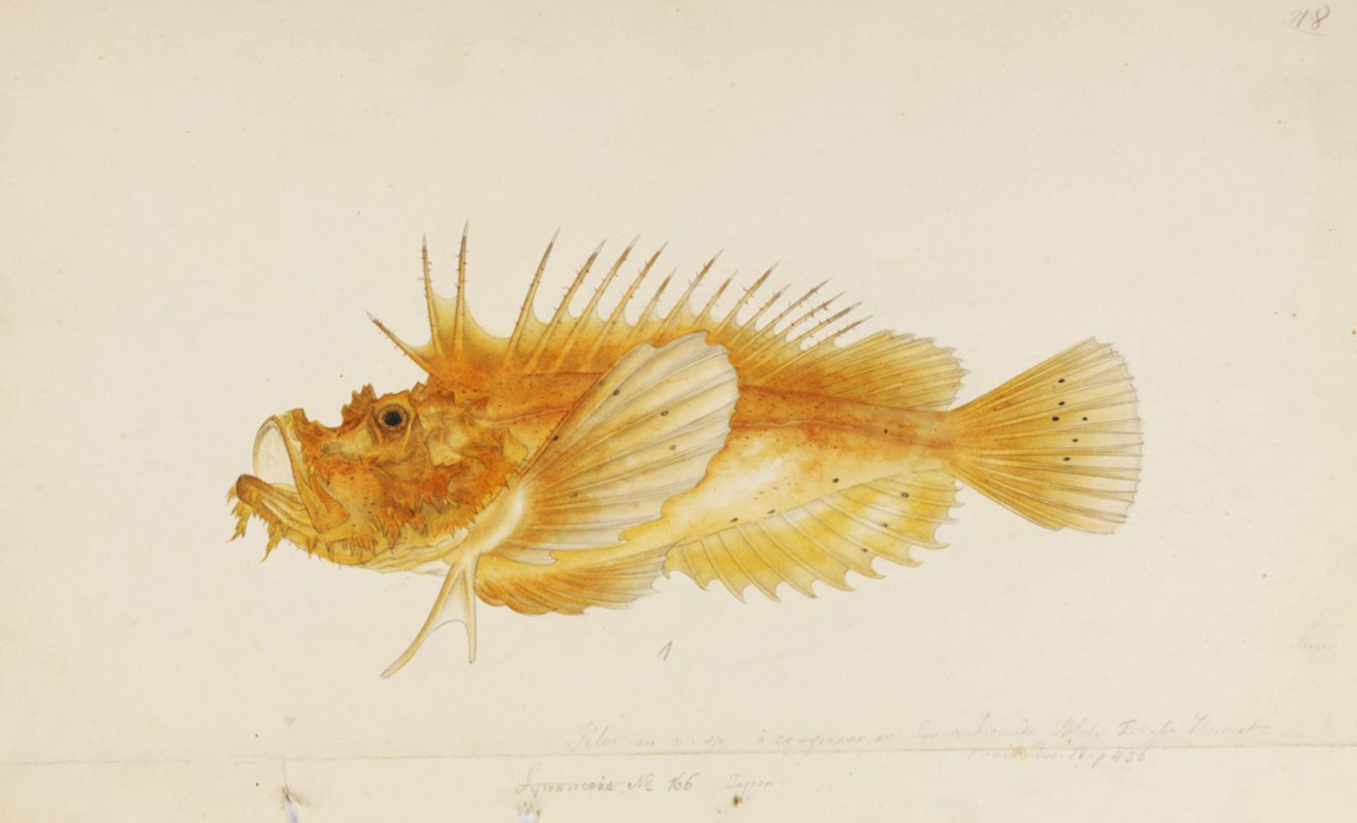 RMNH.ART.261 | Inimicus japonicus