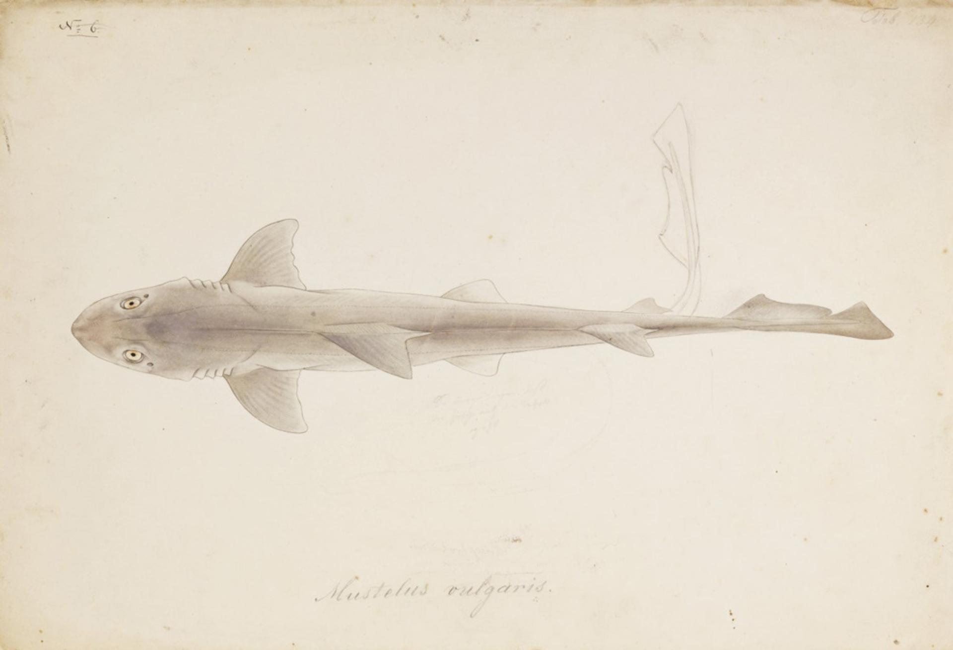 RMNH.ART.262   Carcharhinus gangeticus