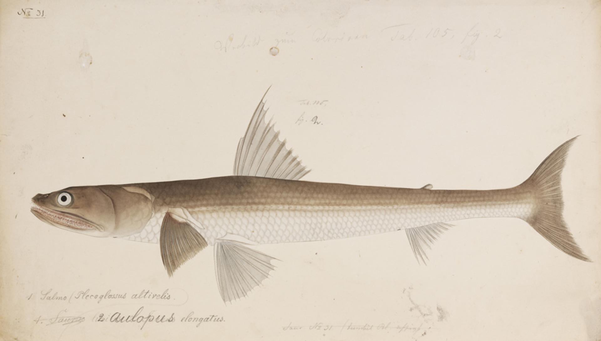RMNH.ART.263 | Trachinocephalus myops