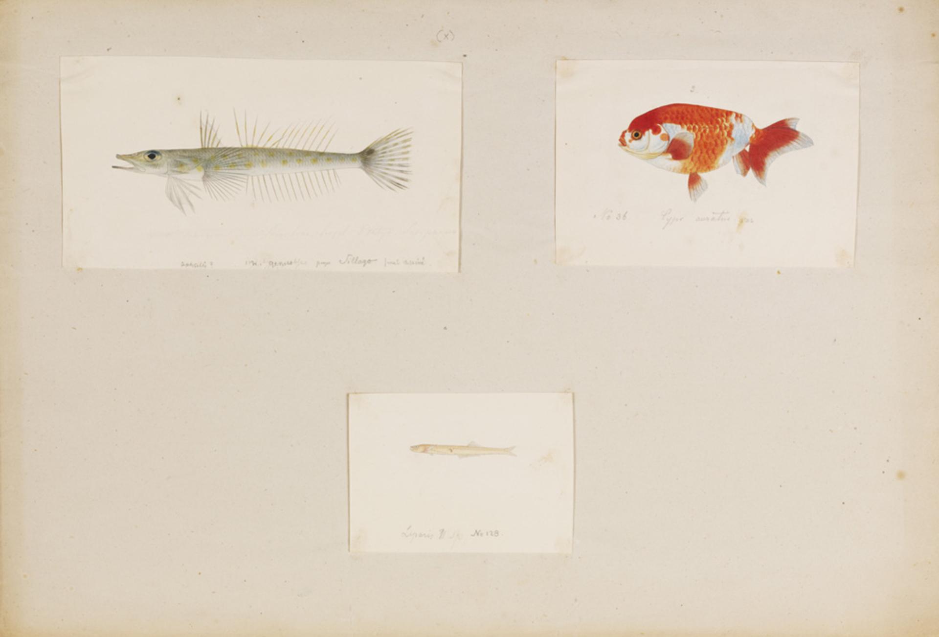 RMNH.ART.267 | Bembrops sp.