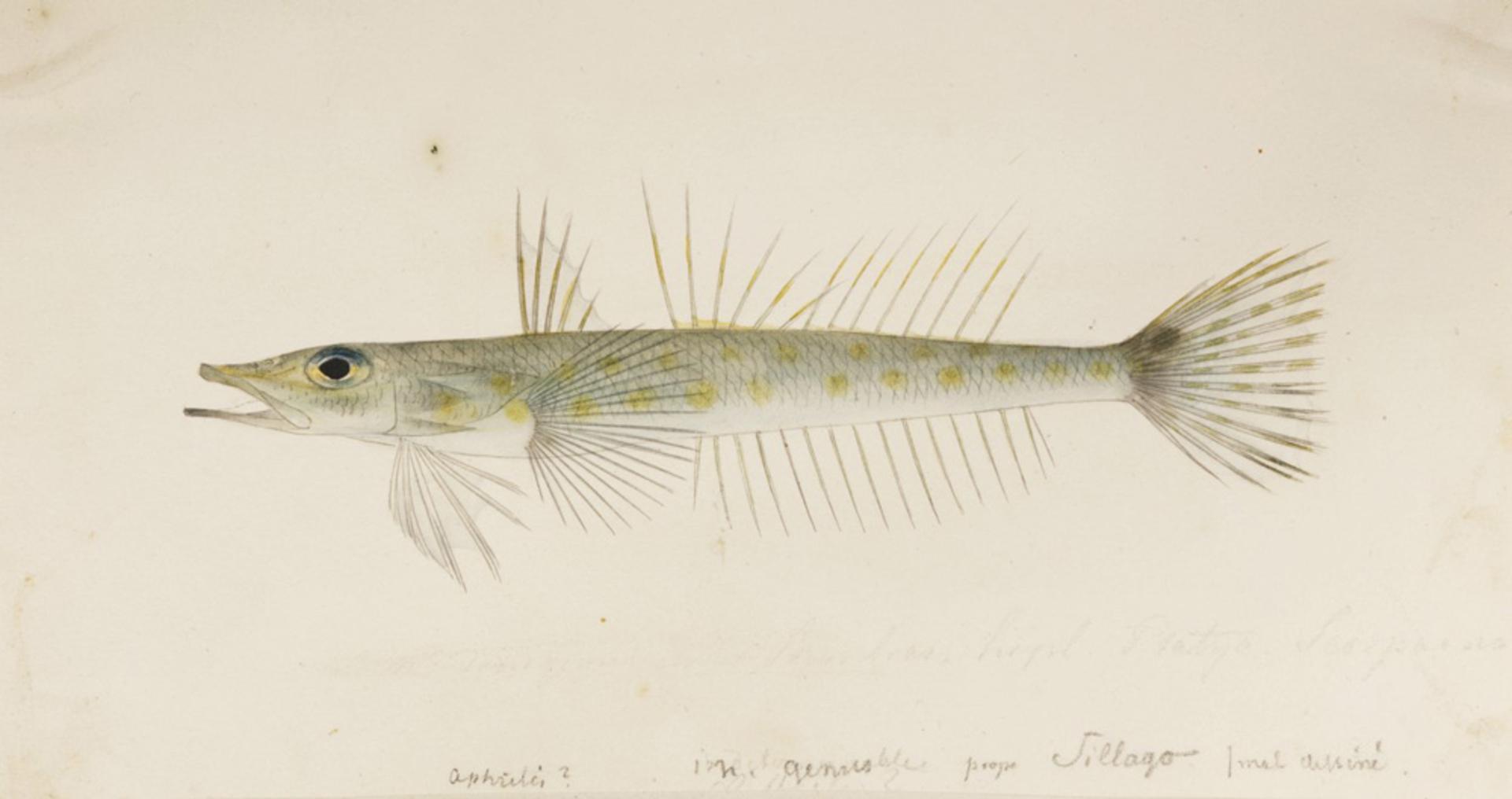 RMNH.ART.268 | Bembrops sp.