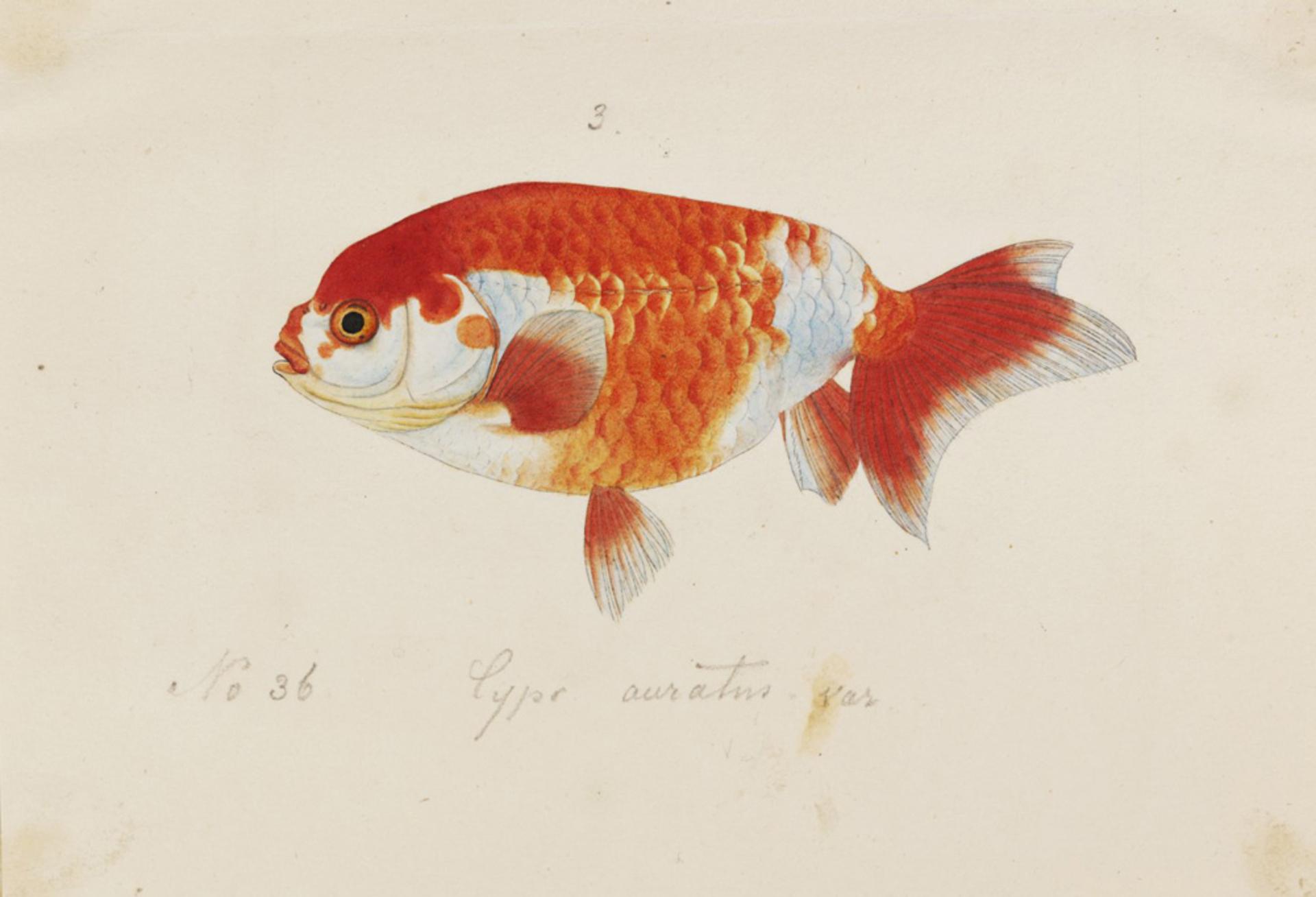RMNH.ART.269 | Carassius auratus var. Osaka-Ranchu