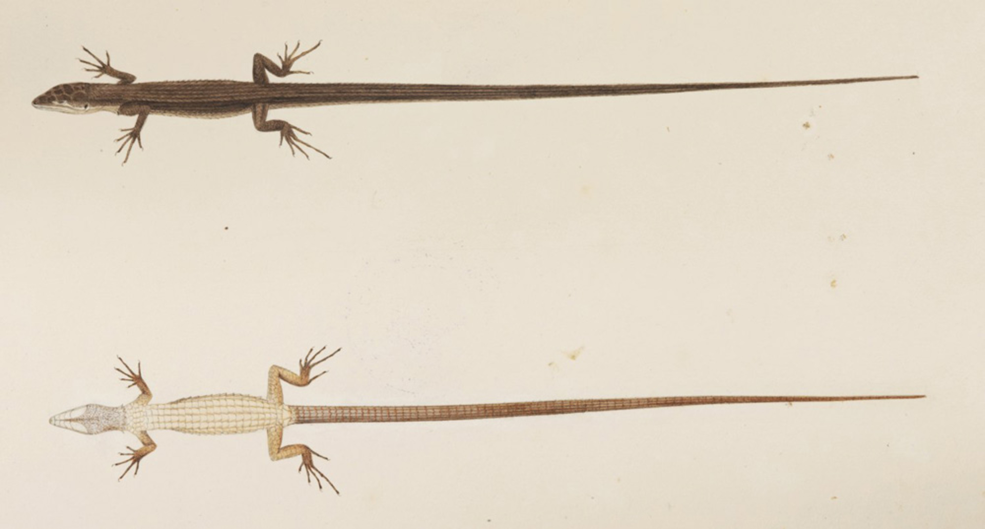 RMNH.ART.271 | Takydromus tachydromoides