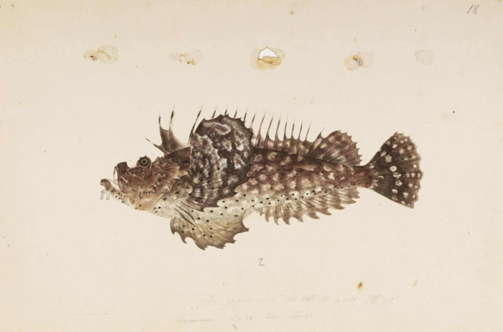RMNH.ART.272 | Inimicus japonicus