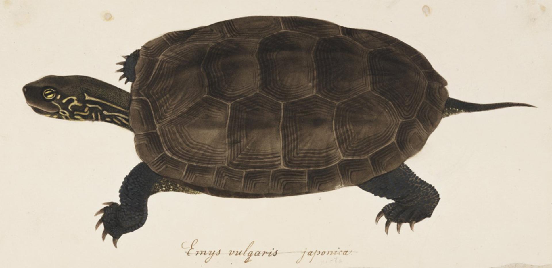 RMNH.ART.274   Chinemys reevesii