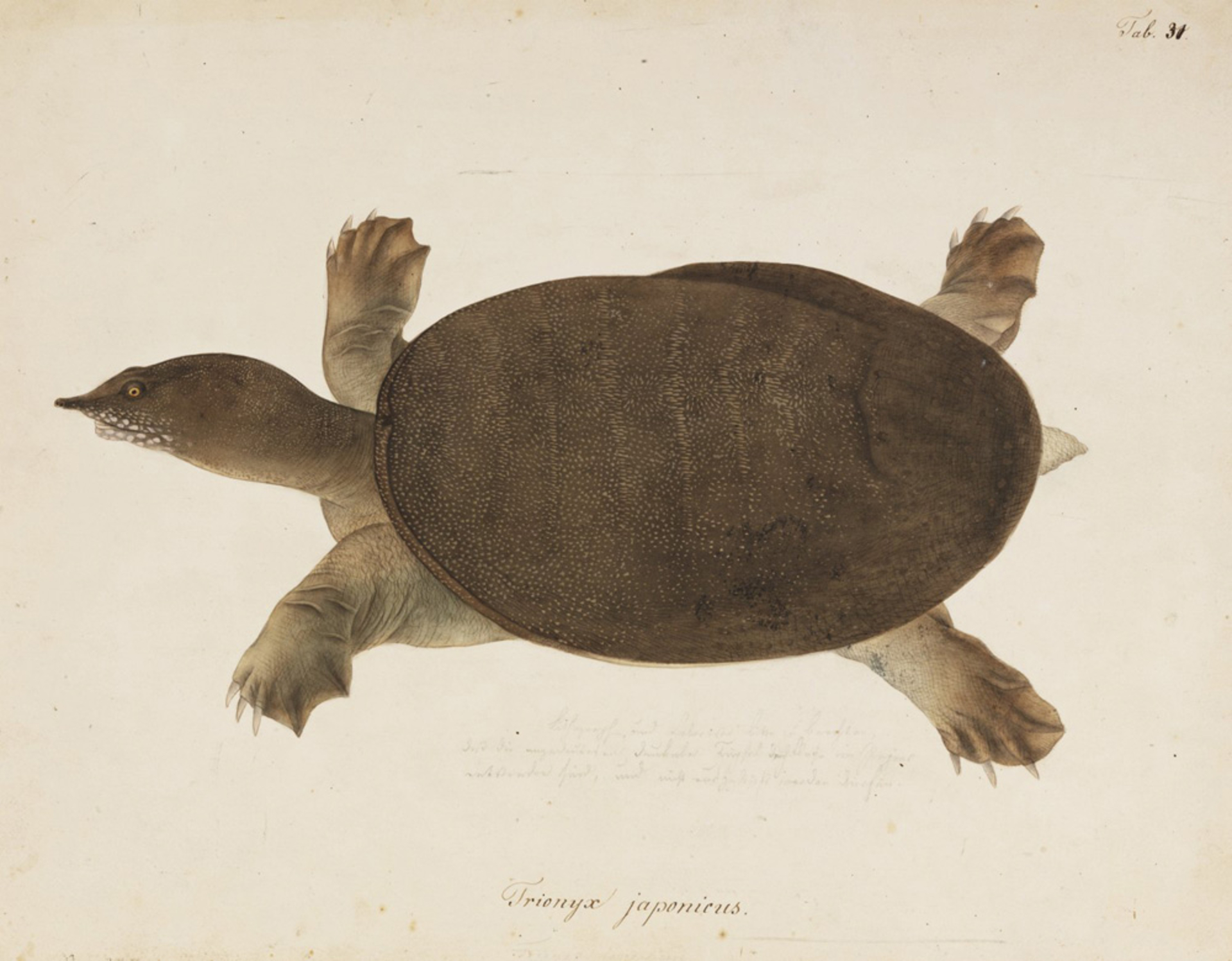 RMNH.ART.275 | Pelodiscus sinensis