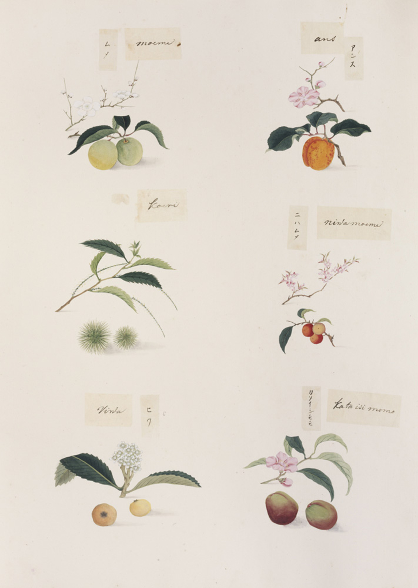 RMNH.ART.277 | Prunus mume