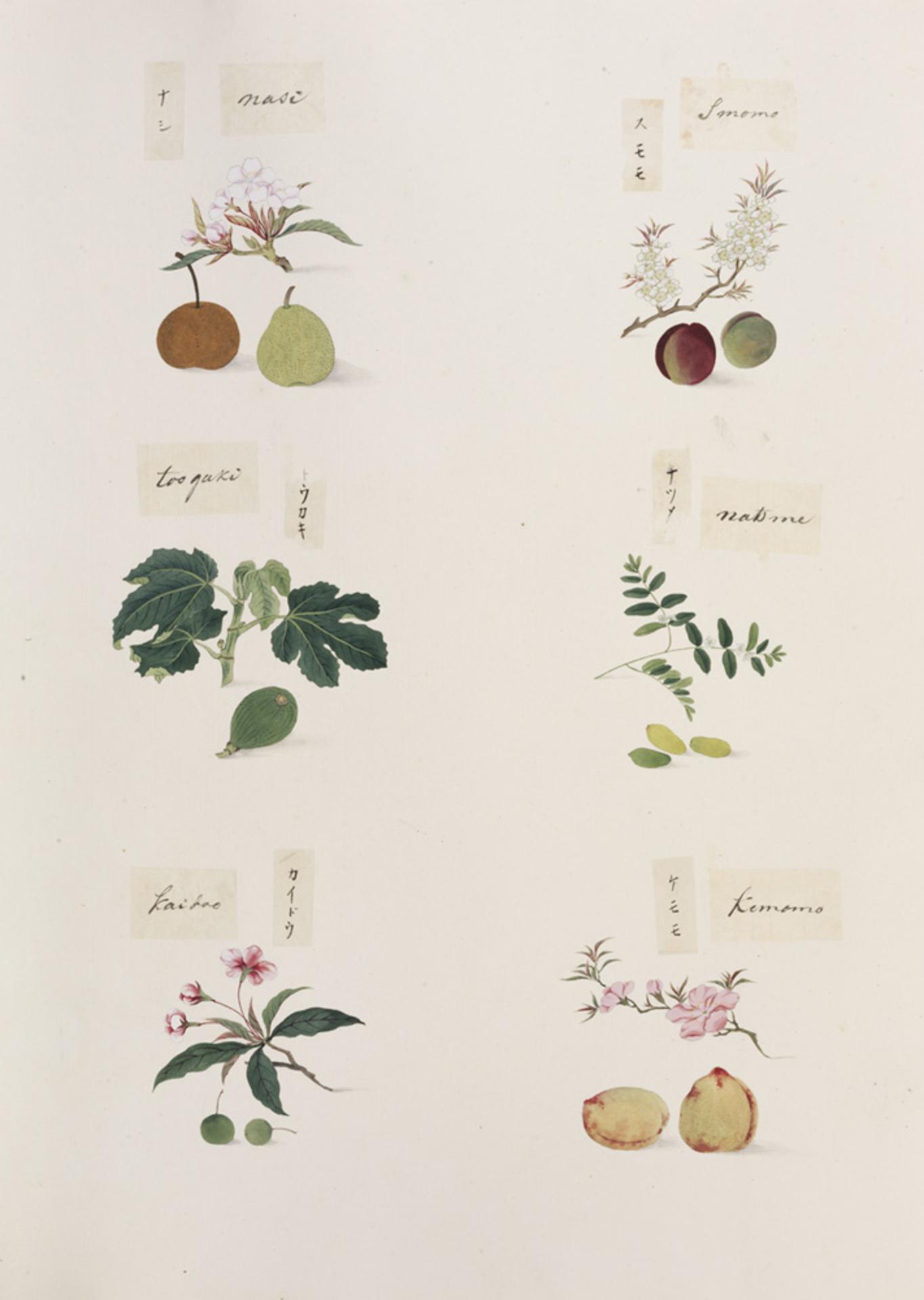 RMNH.ART.278 | Prunus persica