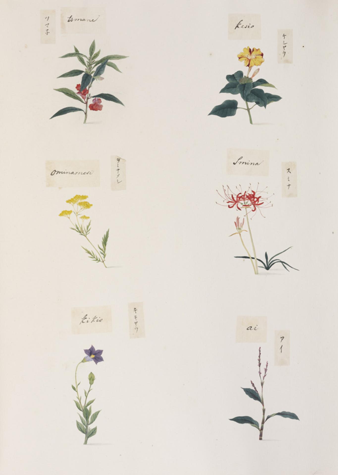 RMNH.ART.280 | Mirabilis jalapa