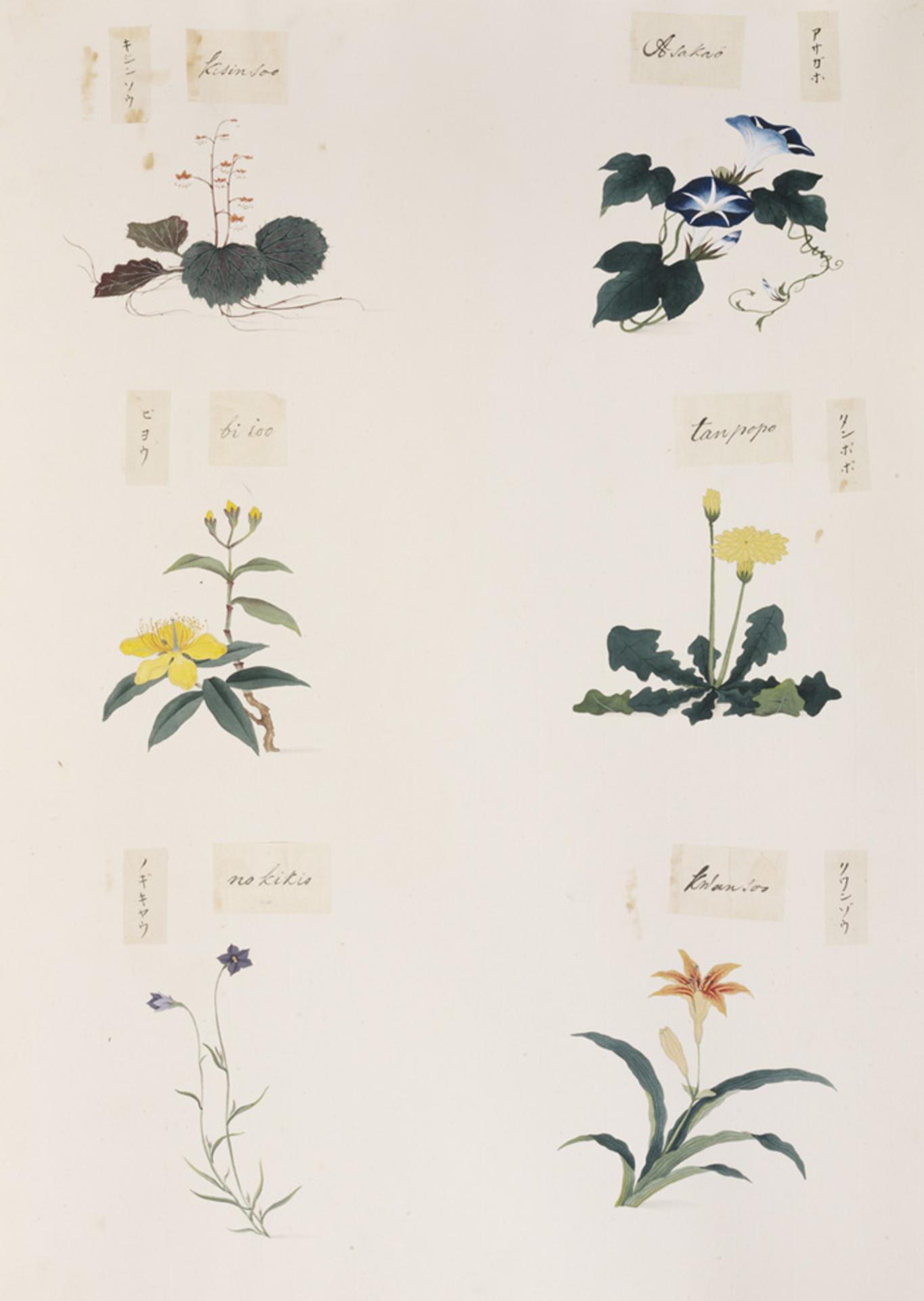 RMNH.ART.282 | Taraxacum sp.